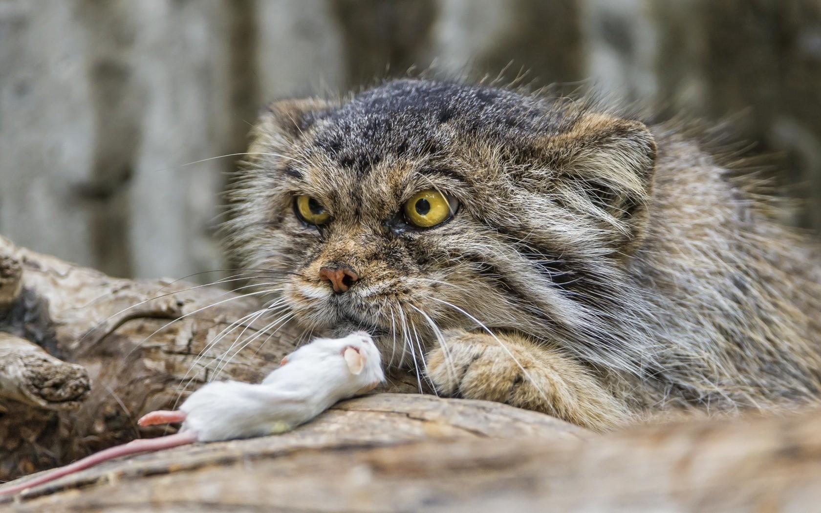 General 1680x1050 animals Pallas's Cat cats mammals big cats yellow eyes animal eyes mice dead food