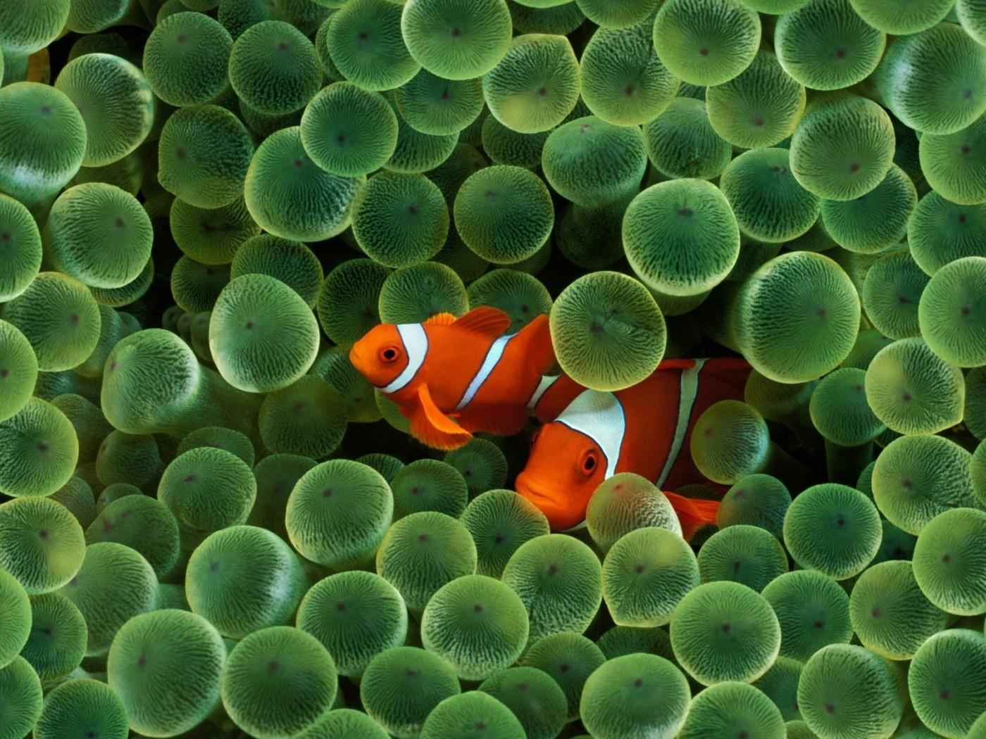 General 1400x1050 fish sea water animals clownfish sea anemones