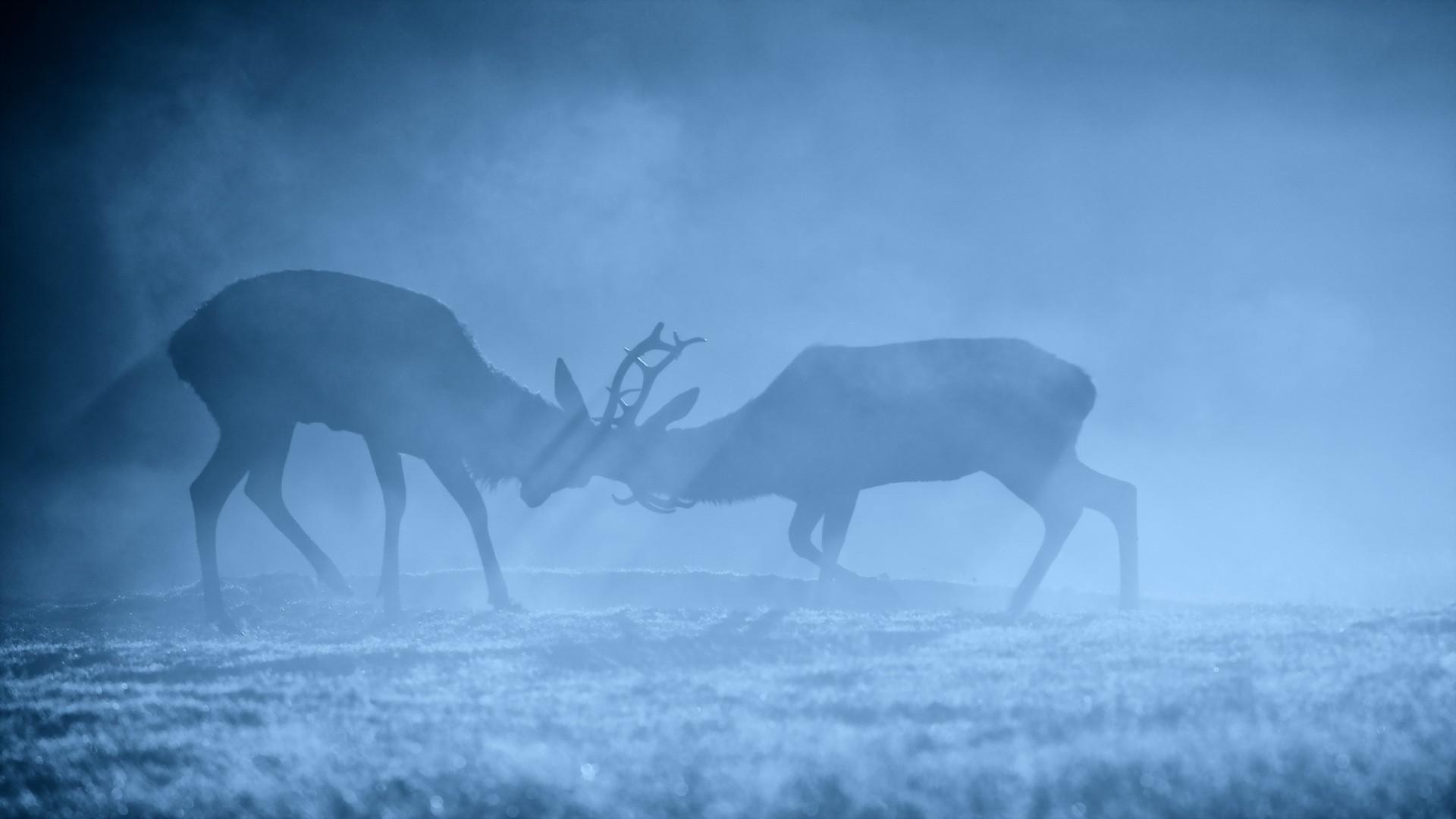 General 1920x1080 animals deer mammals blue mist wildlife stags