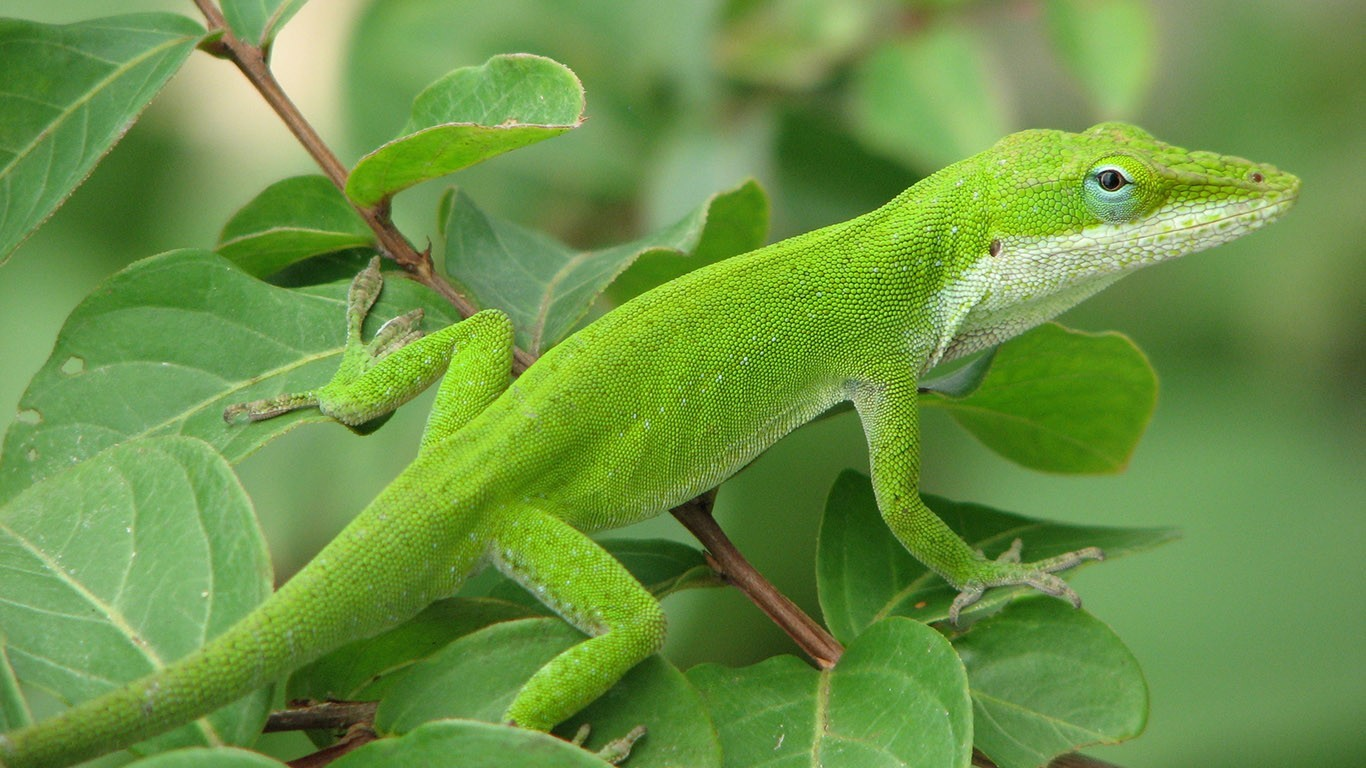 General 1366x768 nature animals green leaves lizards wildlife