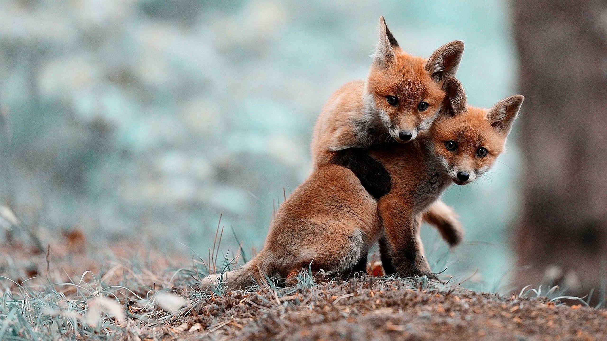 General 2560x1440 cubs fox cubs  fox nature blurred animals baby animals mammals