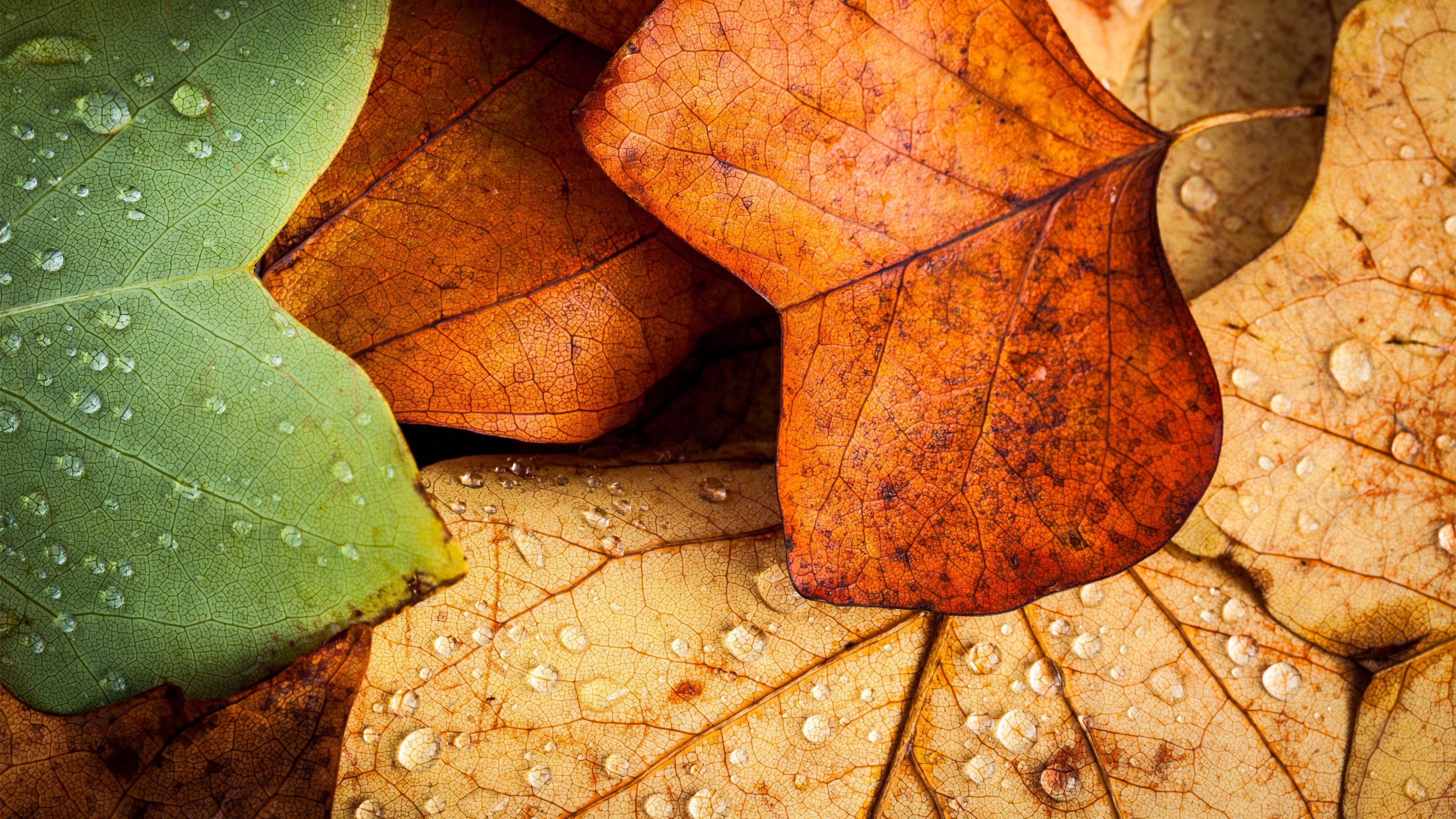 General 3840x2160 nature leaves closeup macro fall water drops wet