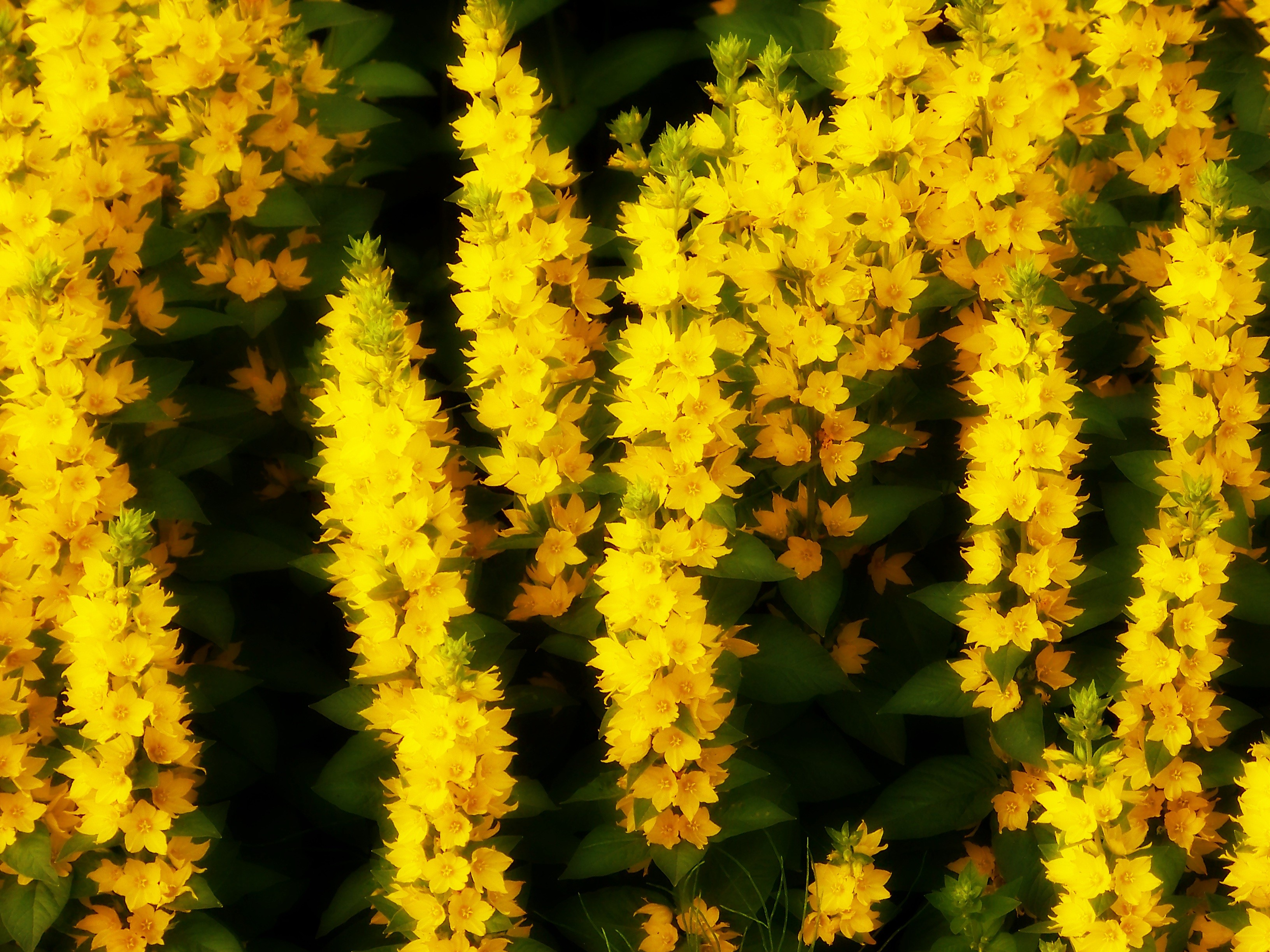 General 3264x2448 flowers plants yellow flowers