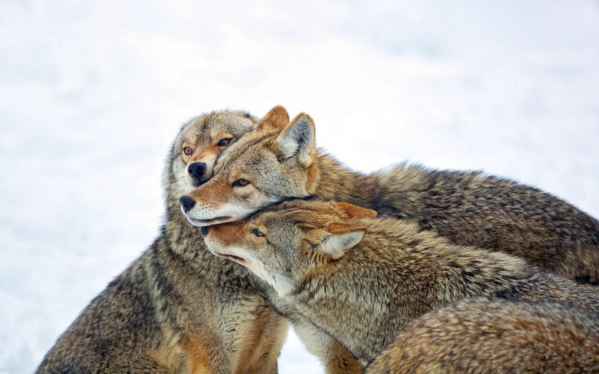 General 1920x1200 animals wolf wildlife mammals
