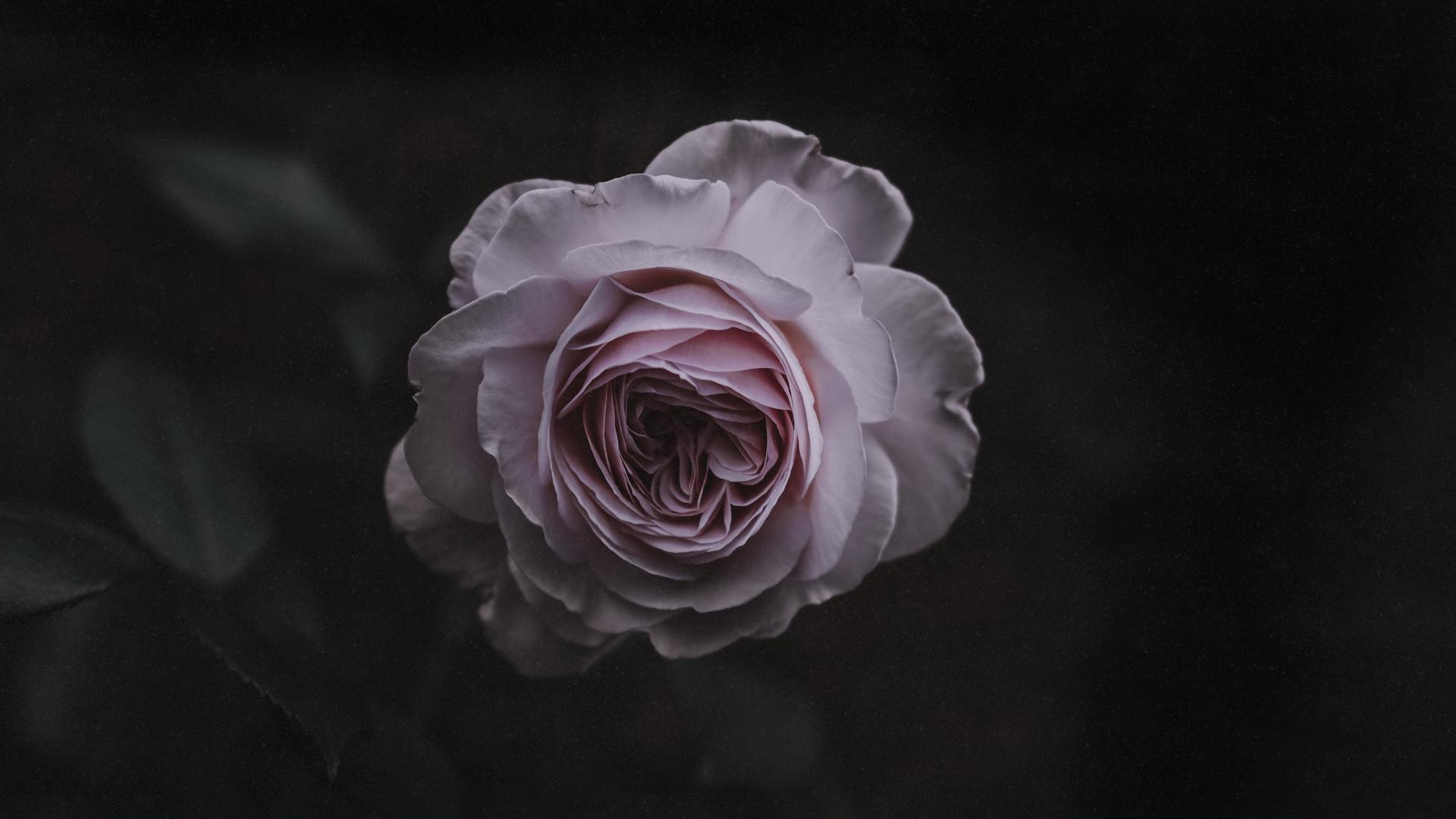 General 1920x1080 macro plants flowers roses rose