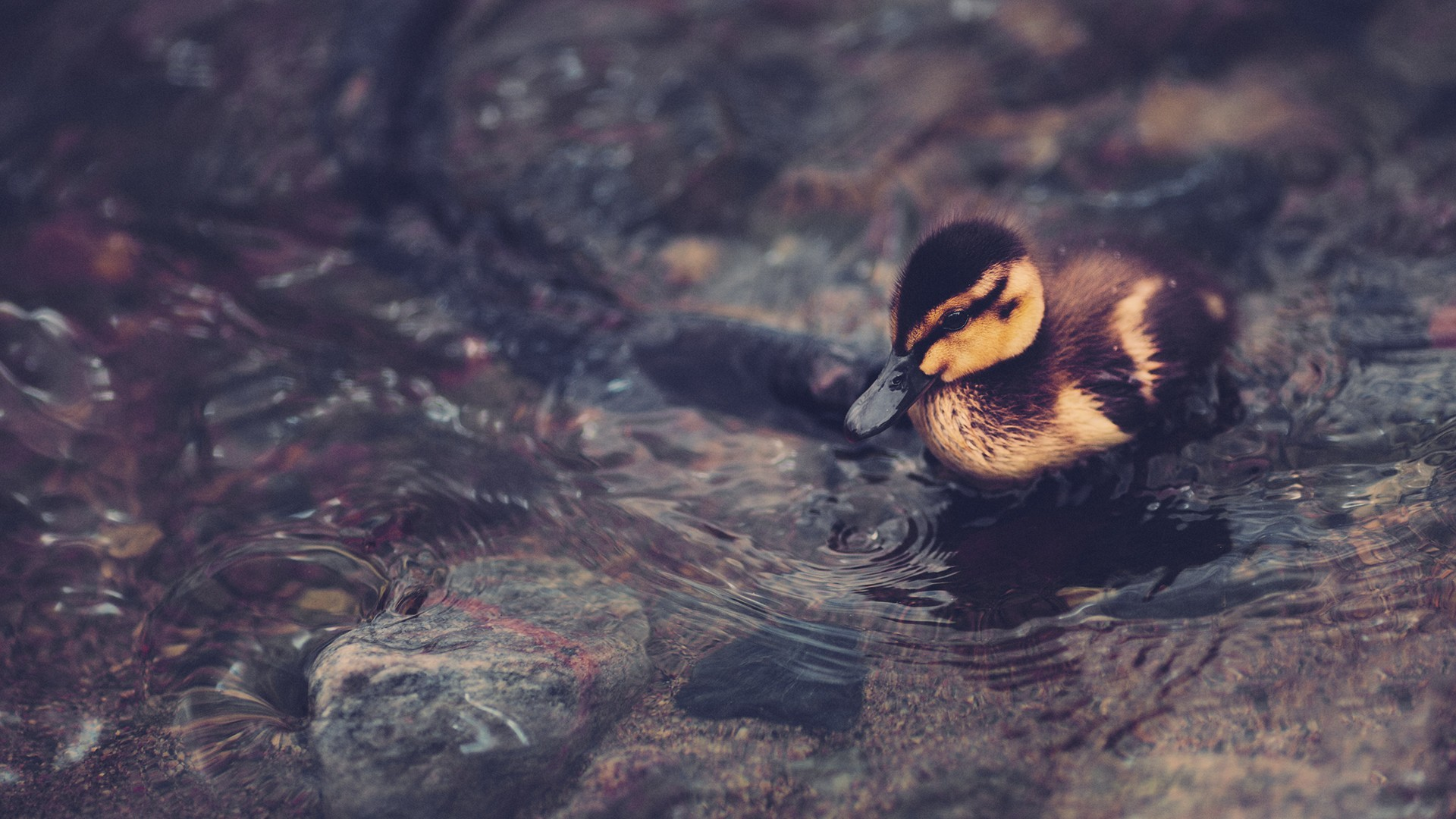 General 1920x1080 animals duck water outdoors