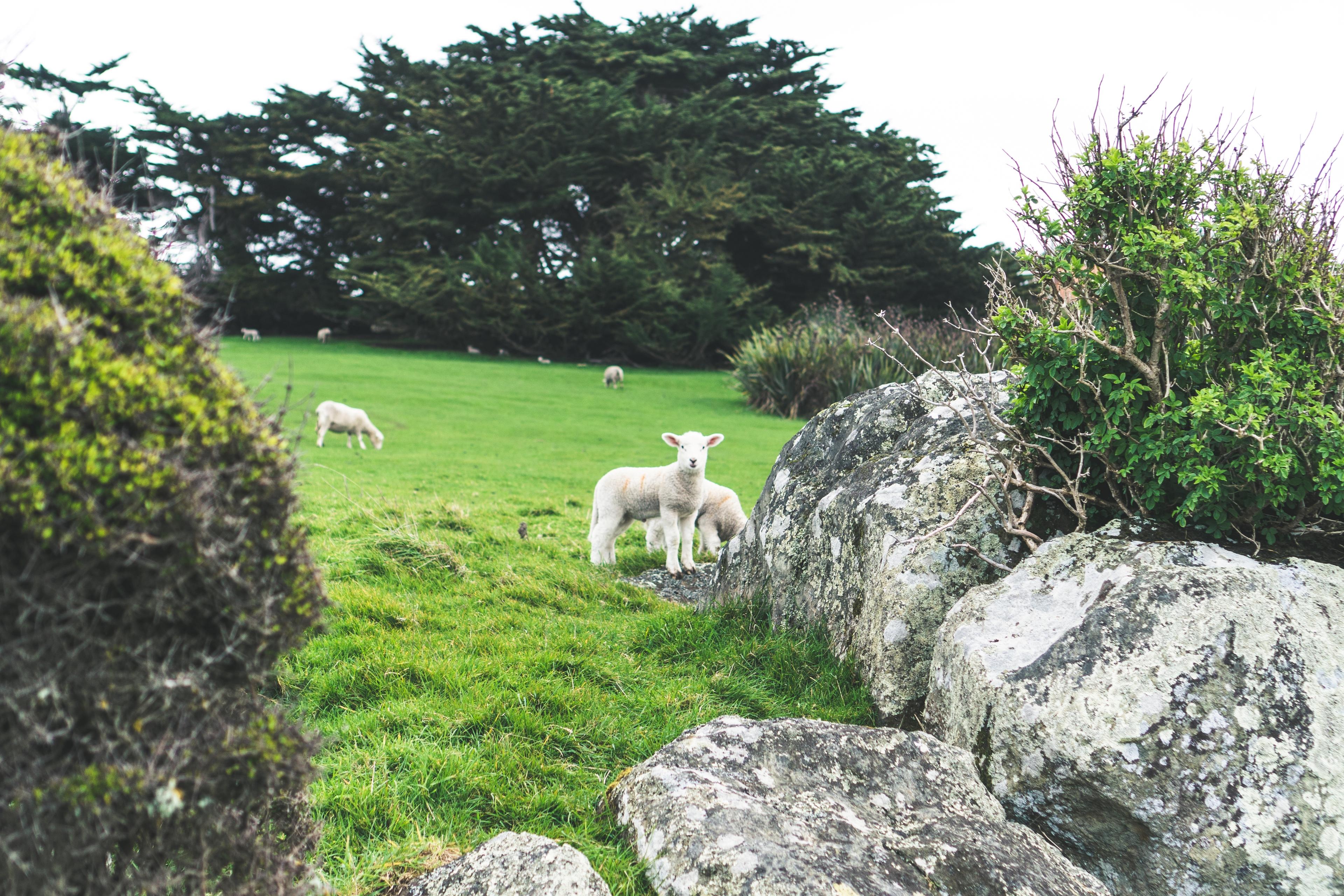 General 3840x2560 Animal Farm sheep nature landscape New Zealand trees rock
