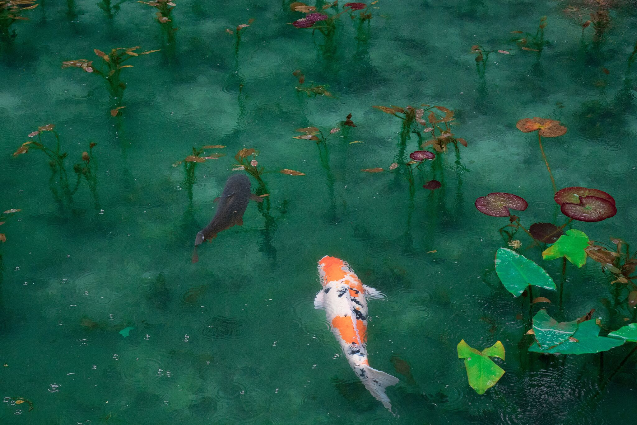 Anime 2048x1365 artwork fish animals plants water koi pond