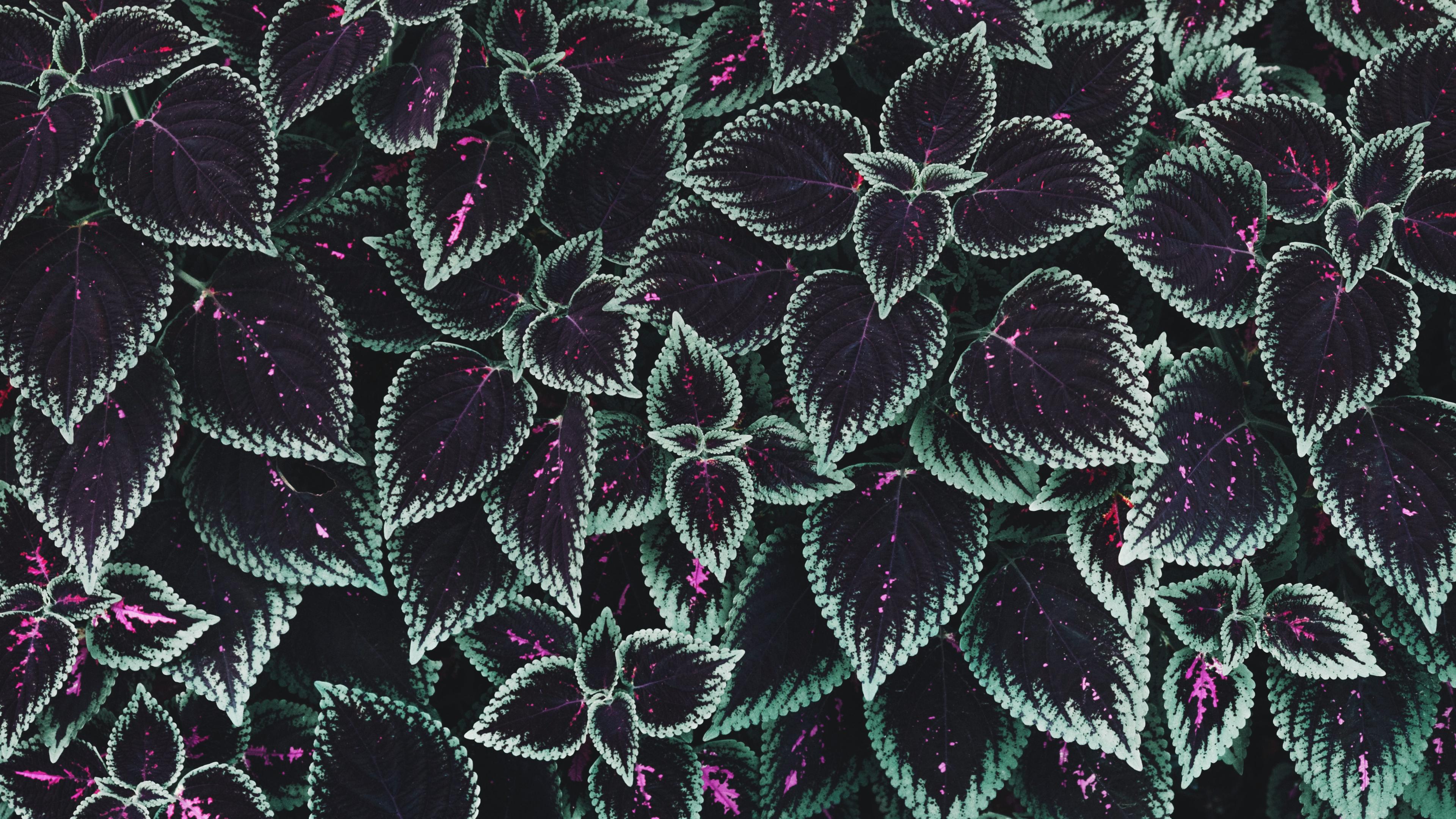 General 3840x2160 macro leaves plants foliage cyan purple coleus
