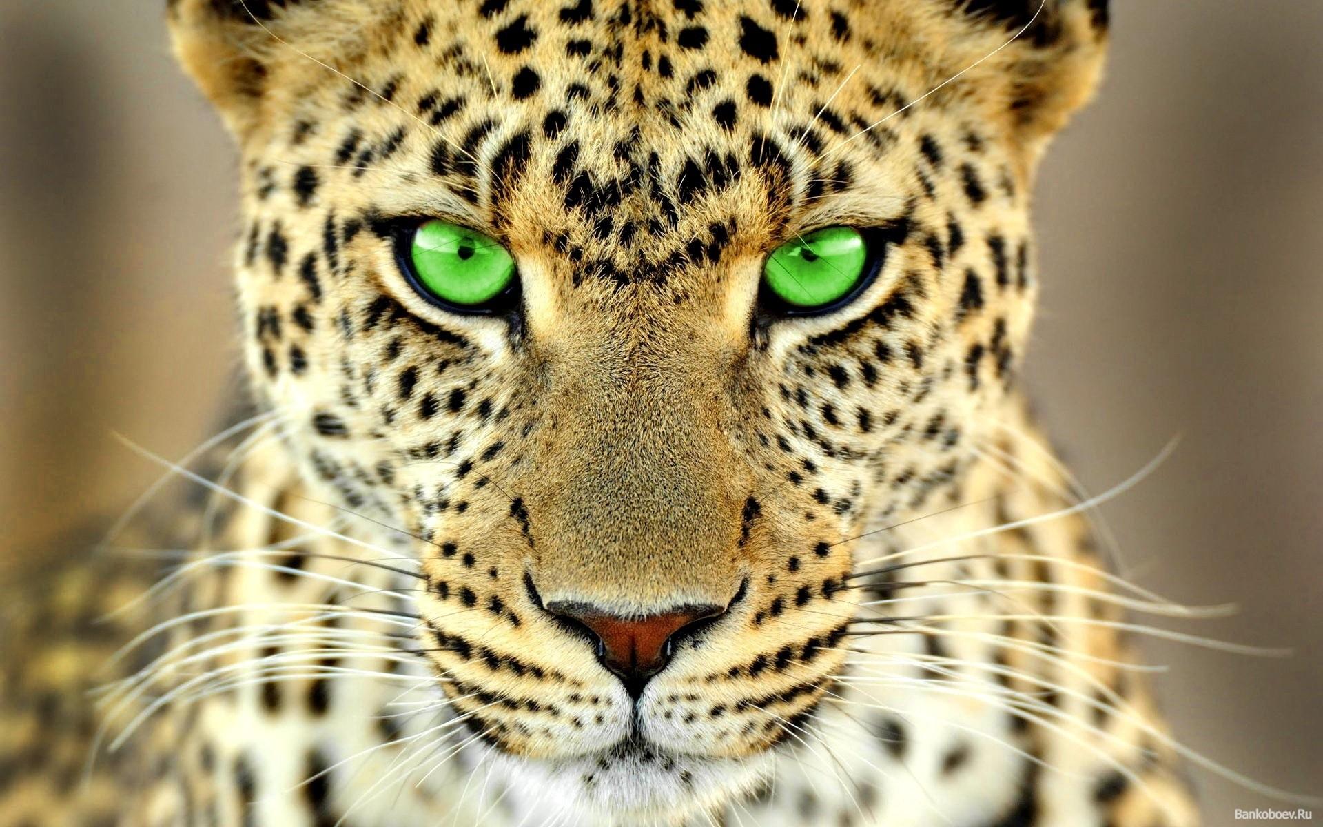 General 1920x1200 animals big cats green eyes leopard (animal)