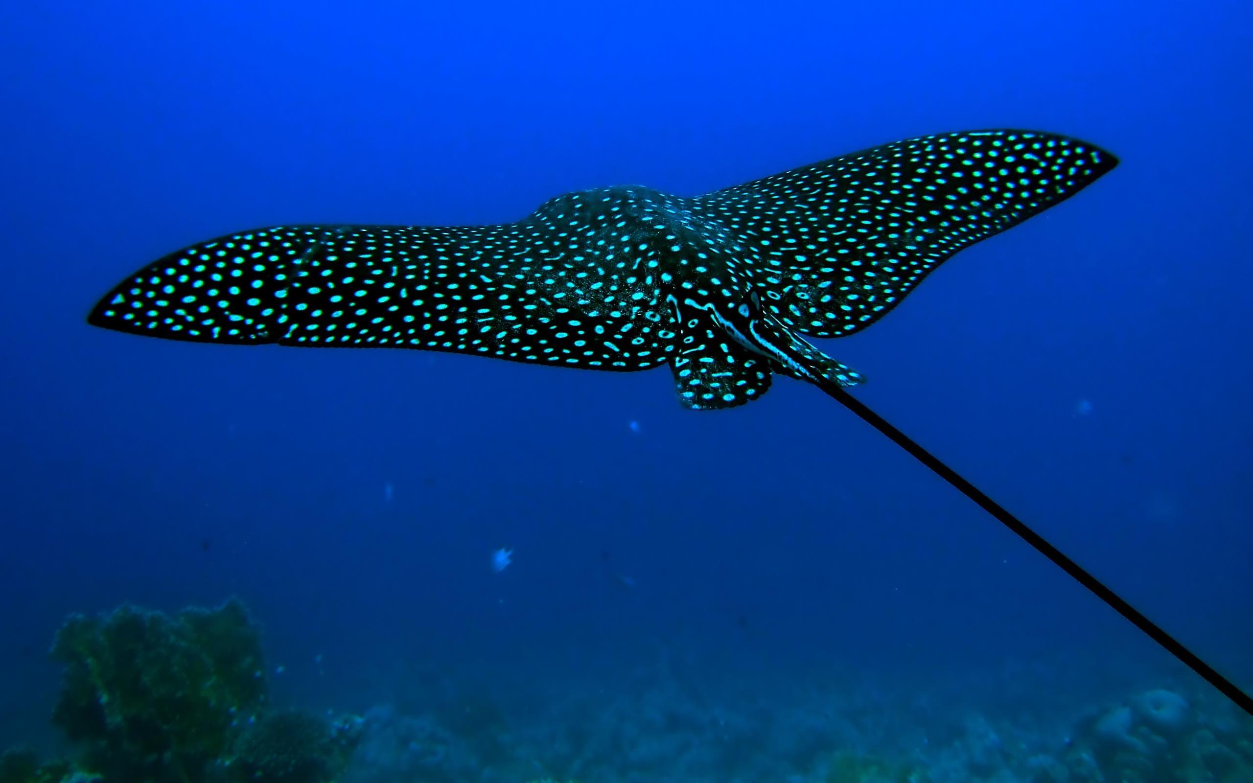 General 2560x1600 underwater animals Stingray