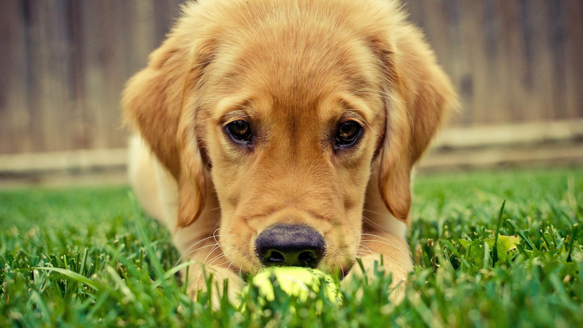 General 1920x1080 animals puppies grass dog mammals closeup outdoors