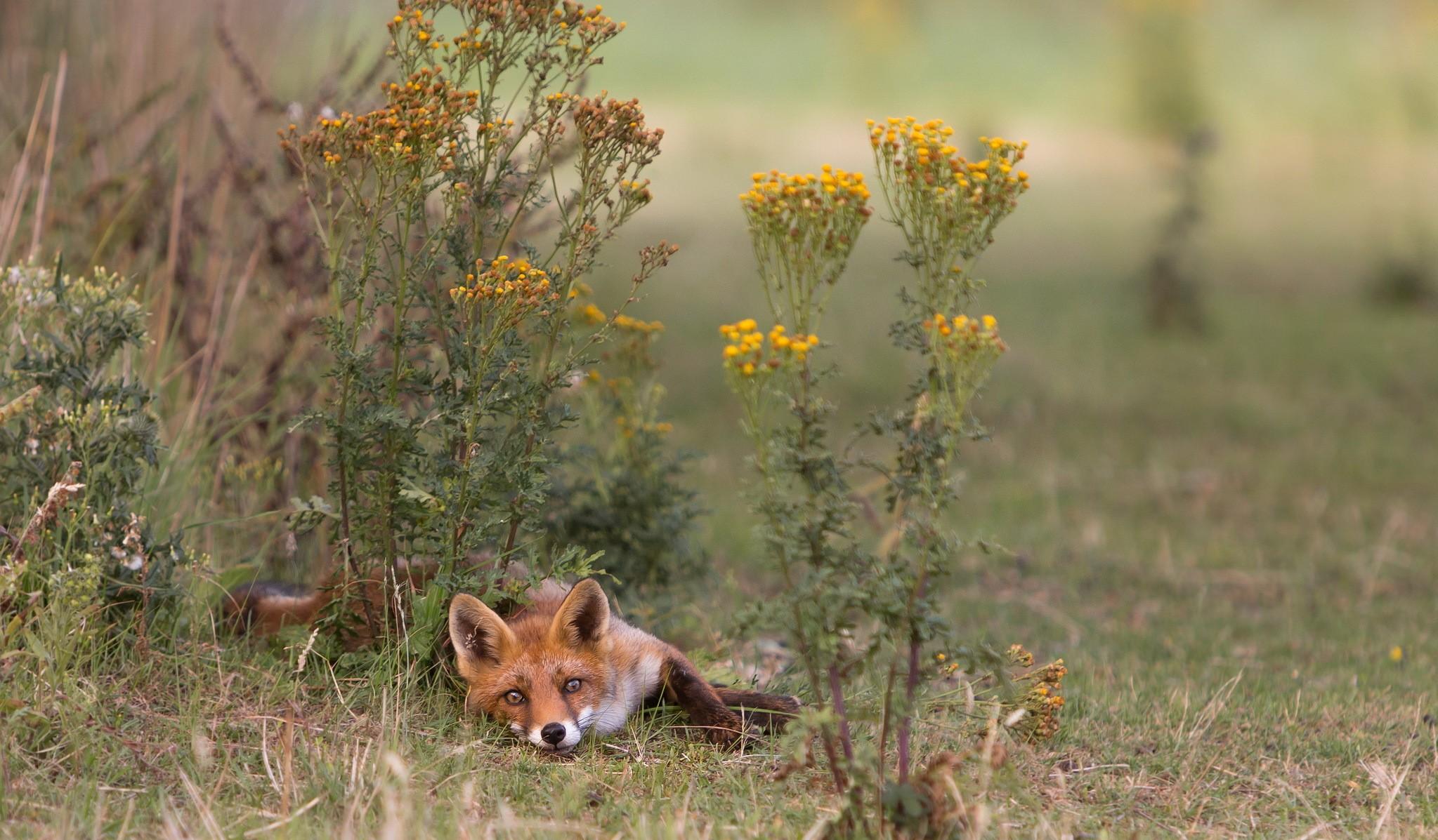 General 2047x1197 fox animals plants