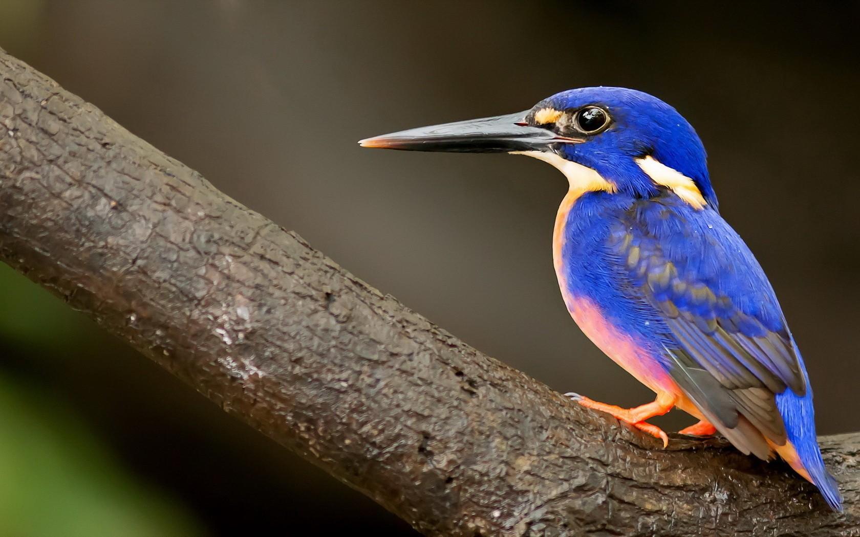 General 1680x1050 animals birds kingfisher