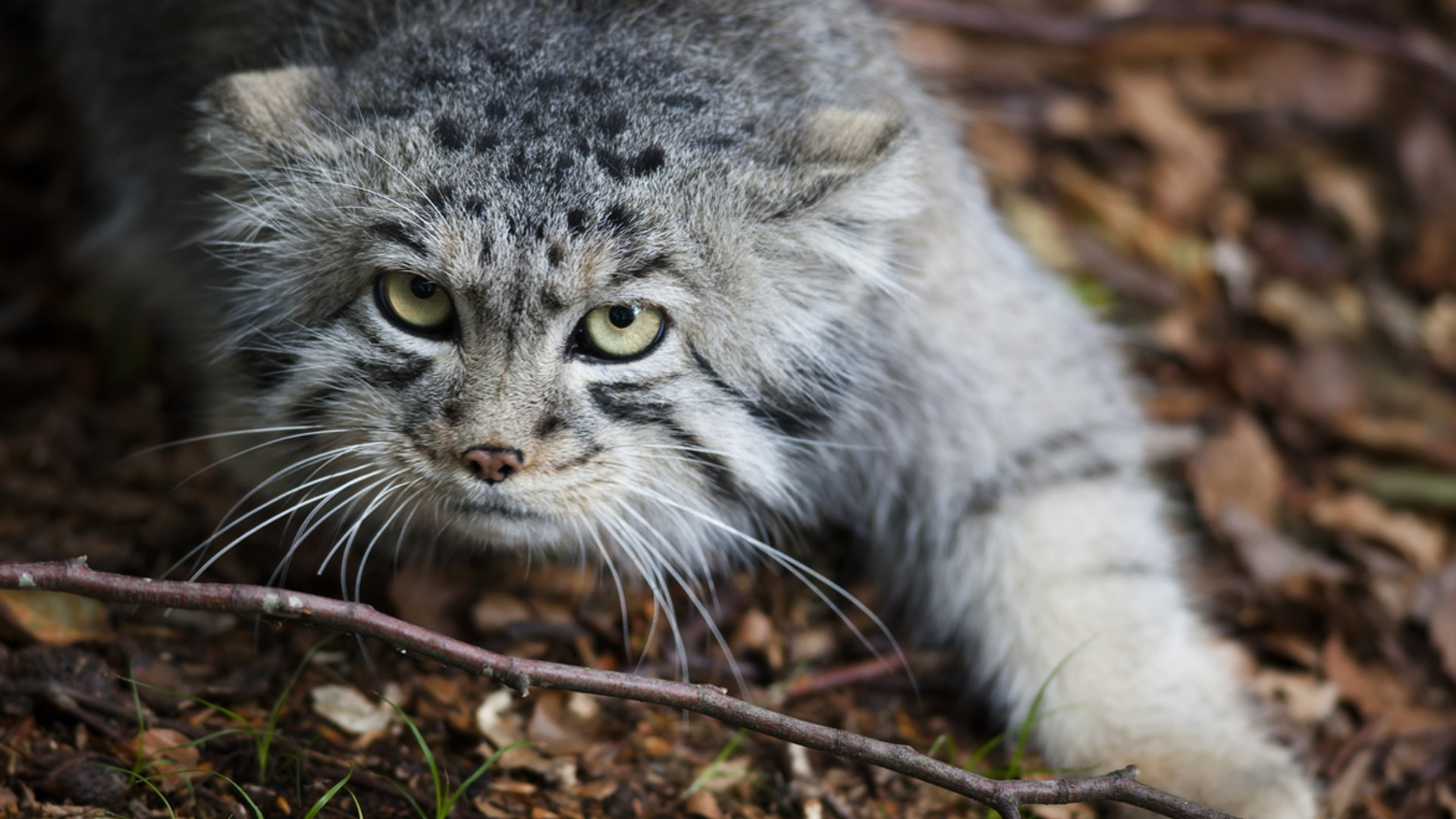General 1920x1080 wild cat animals mammals Pallas's Cat looking at viewer big cats animal eyes
