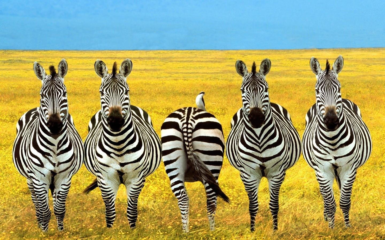 General 1440x900 photo manipulation zebras animals wildlife photomontage field Africa yellow humor plains ass
