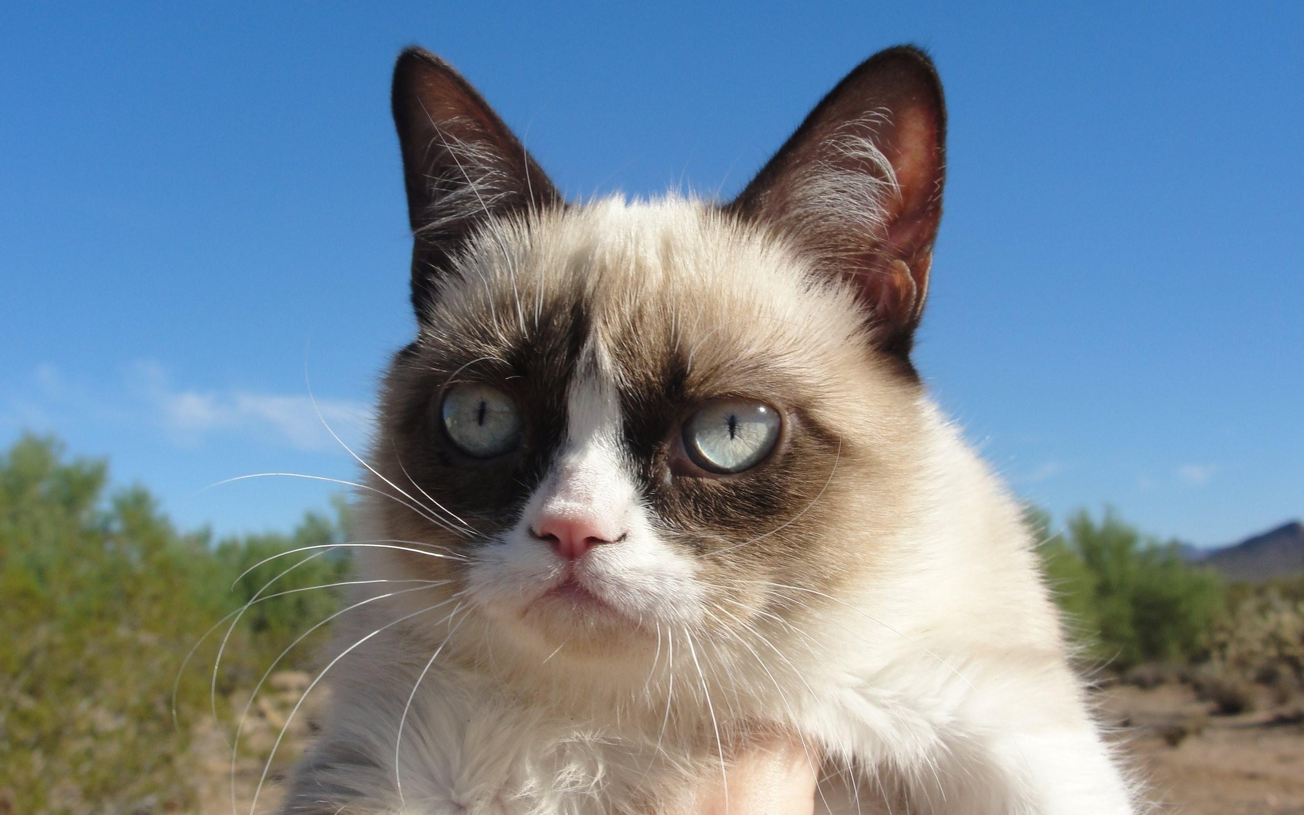 General 2560x1600 animals cats Grumpy Cat mammals animal eyes outdoors