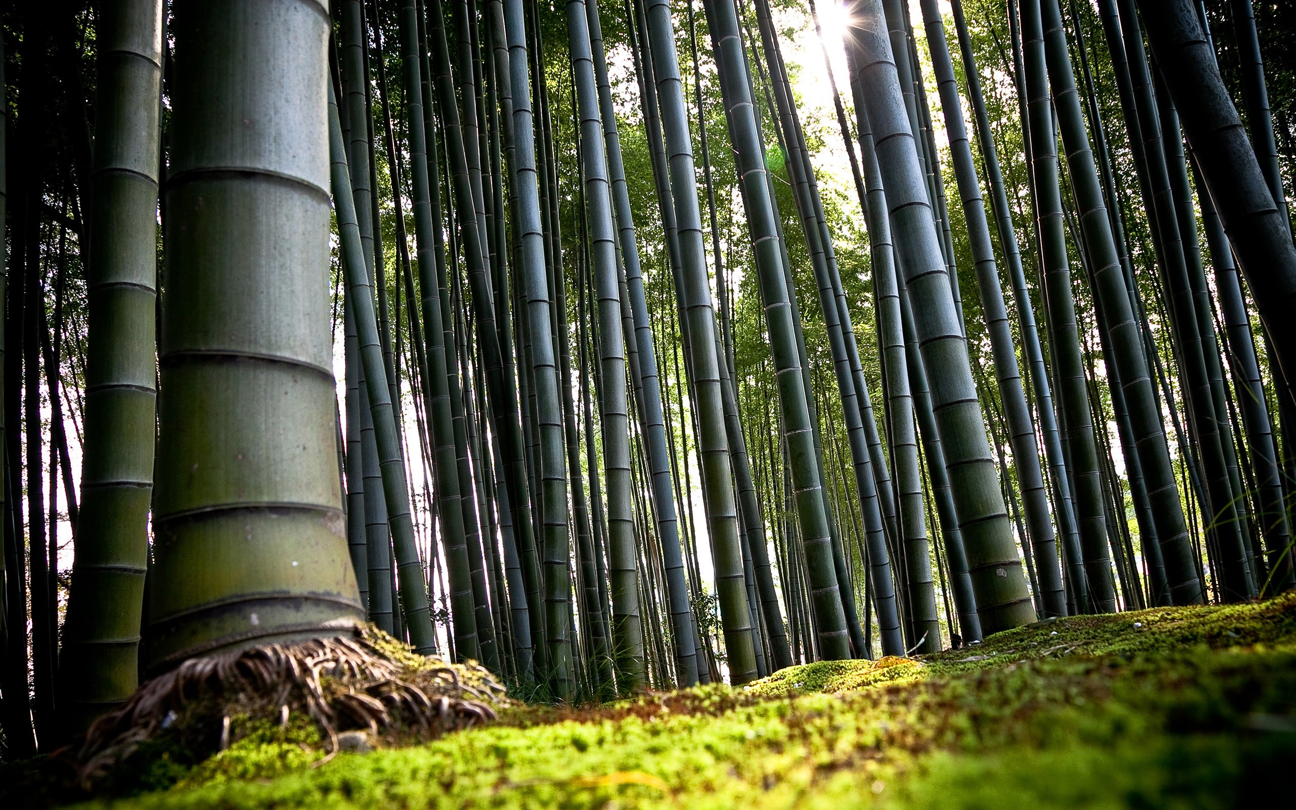 General 2560x1600 nature trees bamboo forest