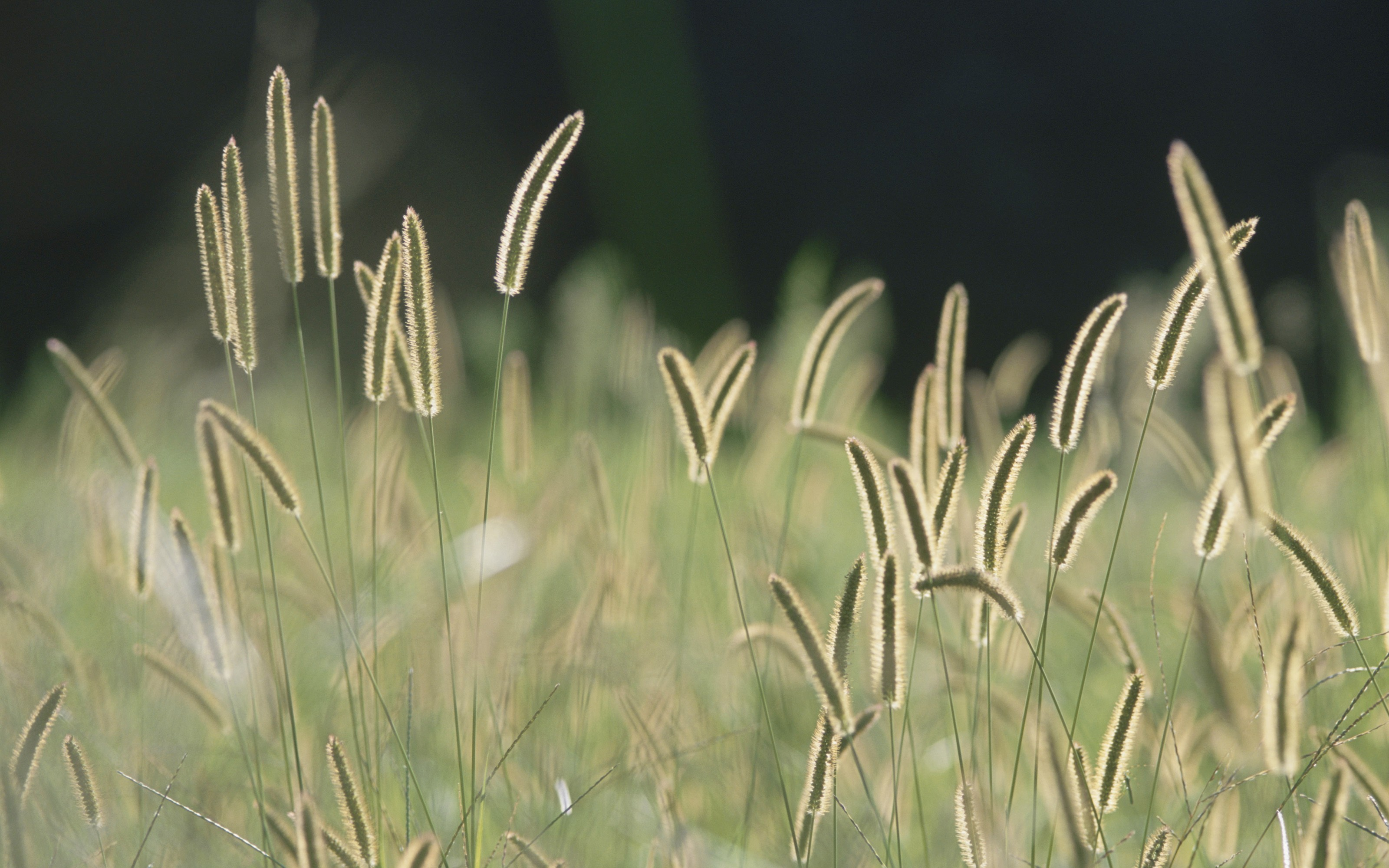 General 3200x2000 spikelets nature grass plants