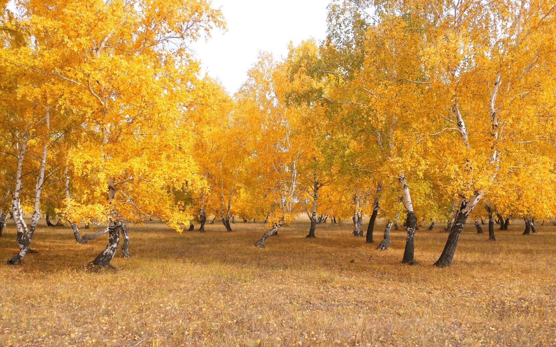 General 1920x1200 trees landscape yellow orange birch fall nature