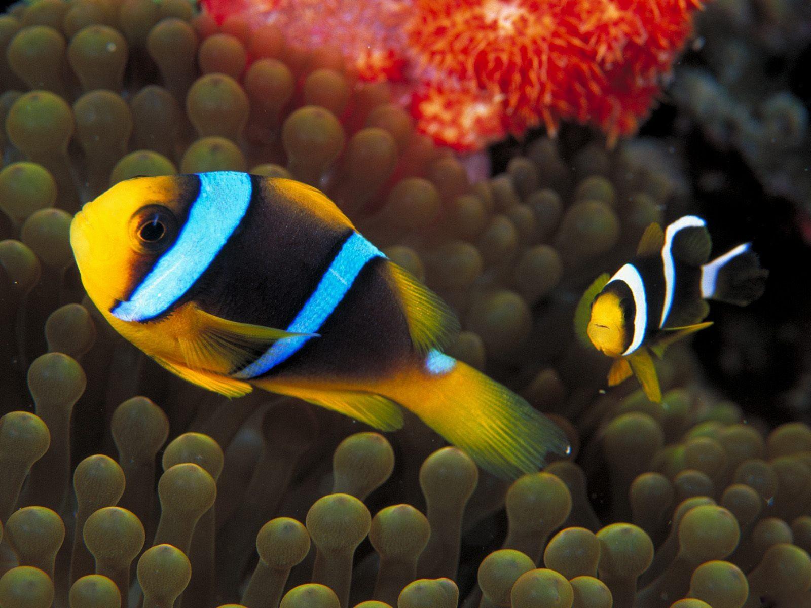 General 1600x1200 sea underwater sea anemones fish clownfish sea life animals