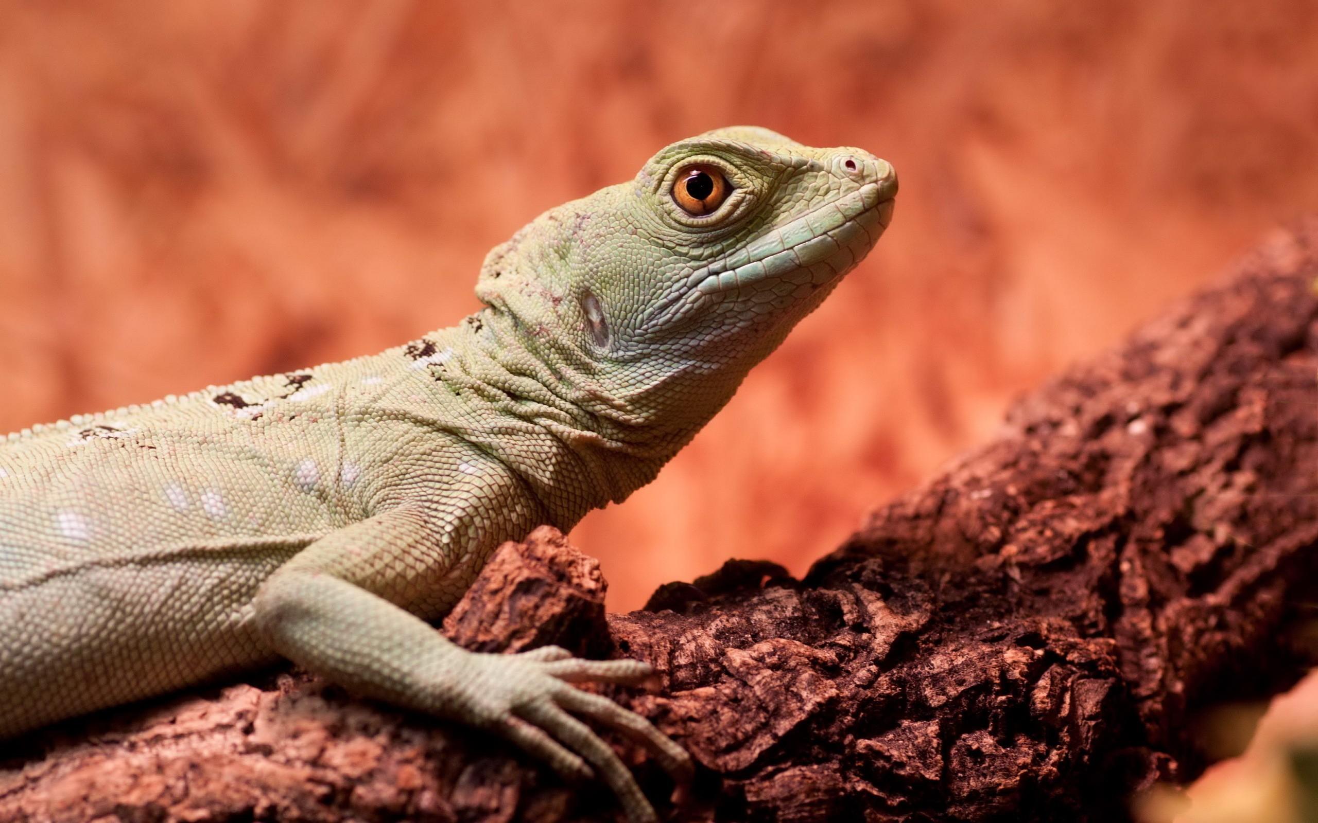 General 2560x1600 reptiles lizards branch