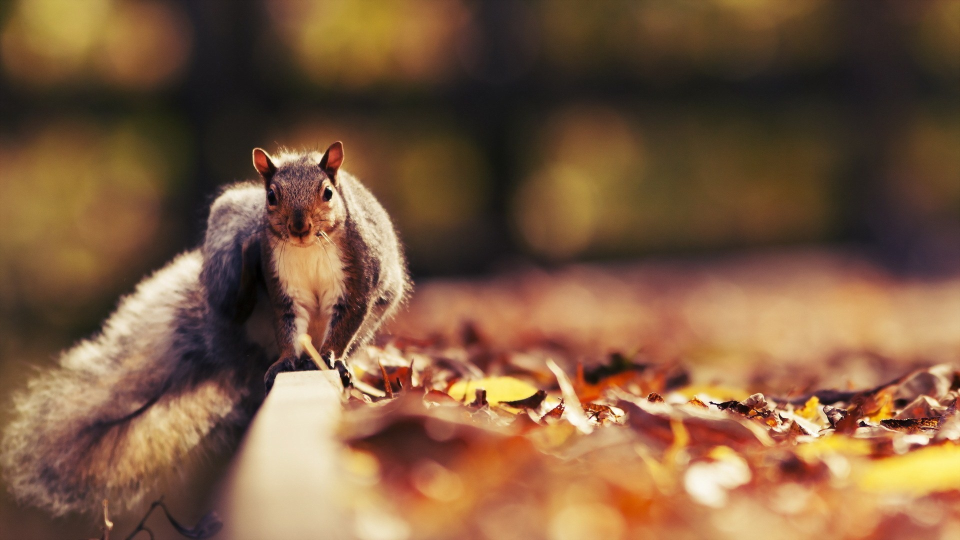 General 1920x1080 animals squirrel leaves fallen leaves