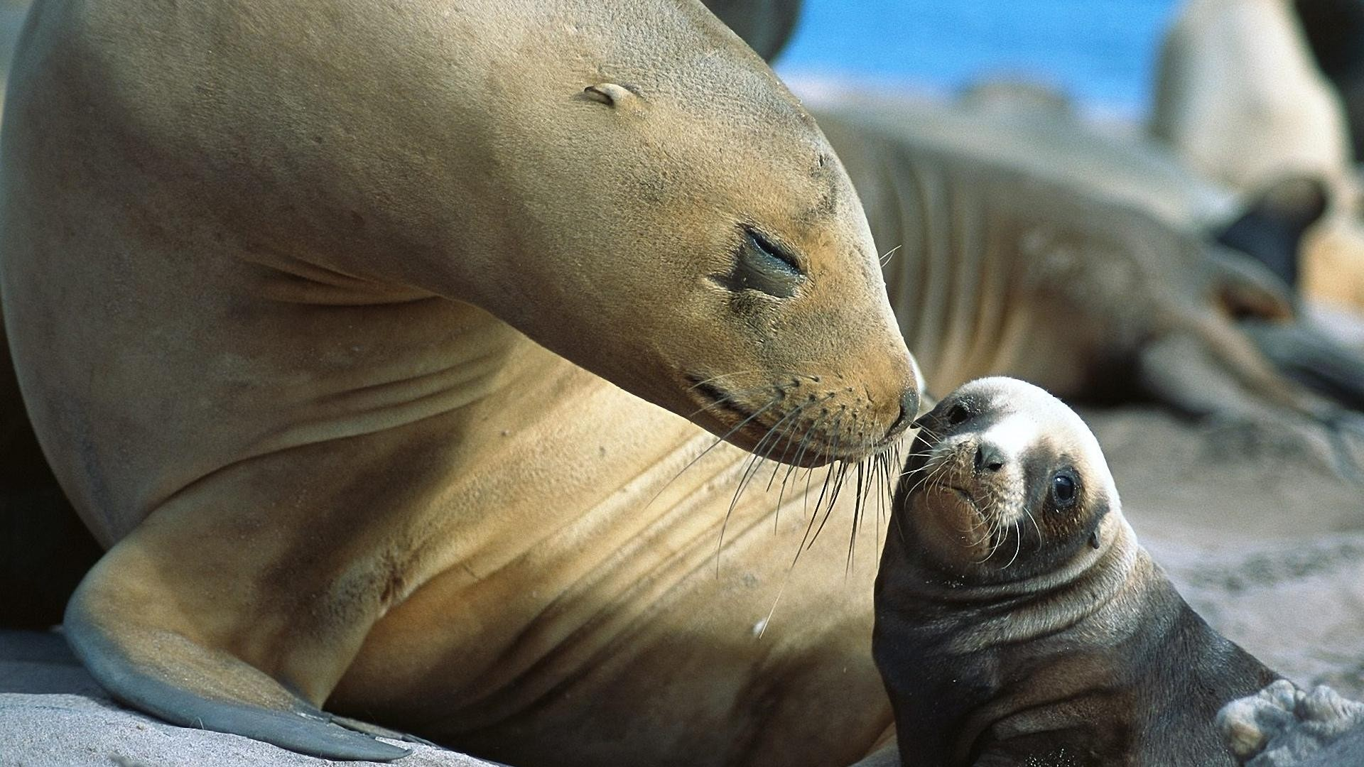 General 1920x1080 animals baby animals nature Sea Lion moustache