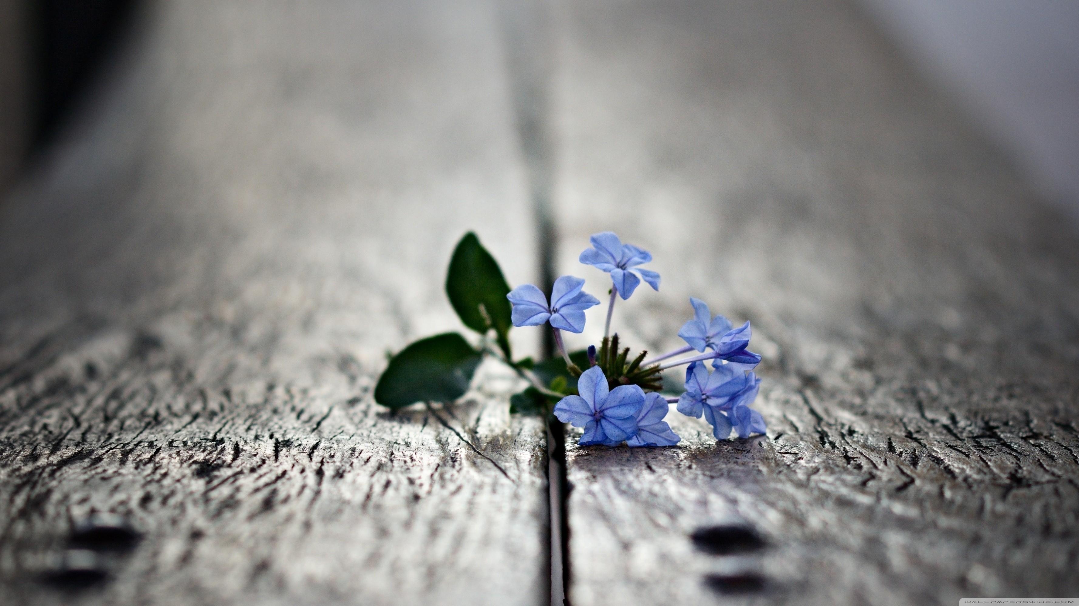 General 3554x1999 wooden surface flowers macro depth of field blue flowers