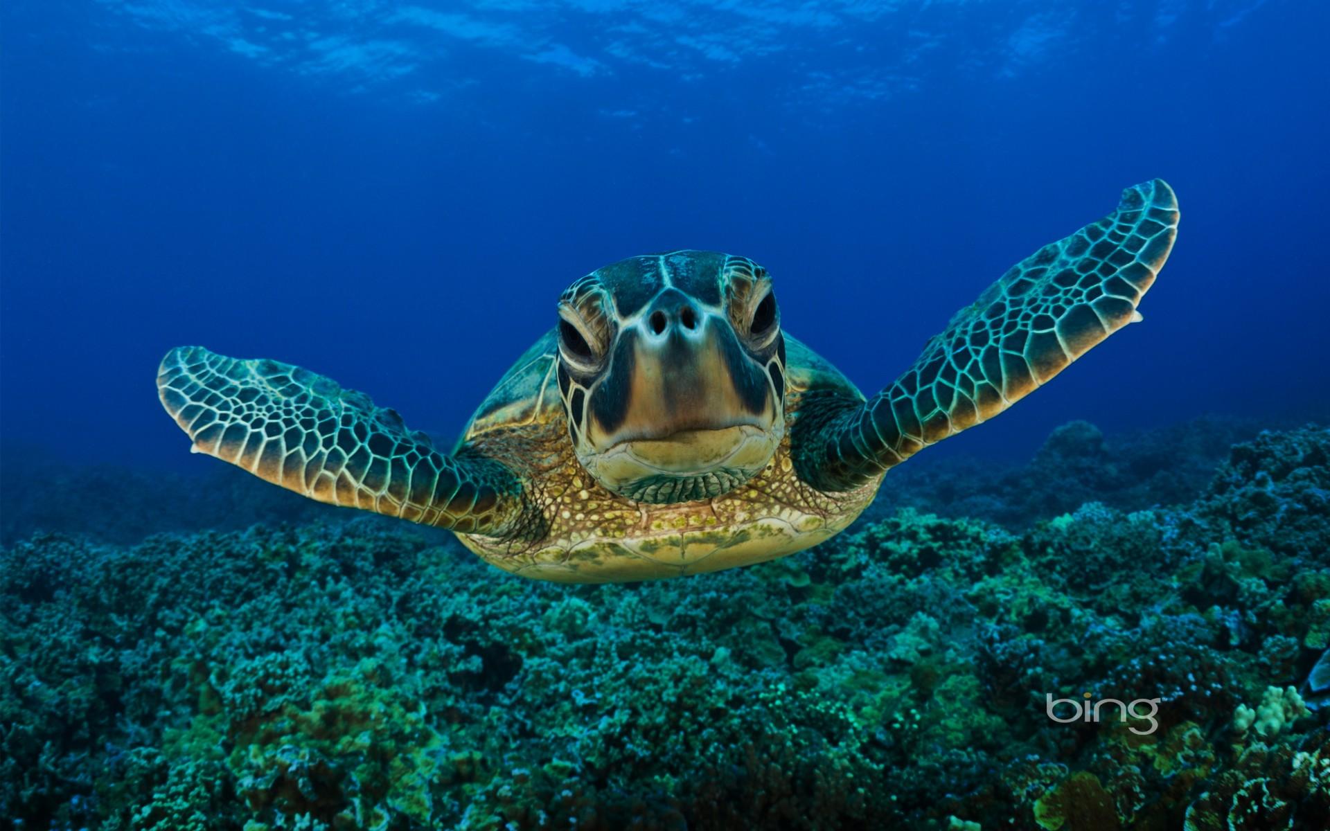 General 1920x1200 underwater turtle animals sea swimming diving Bing