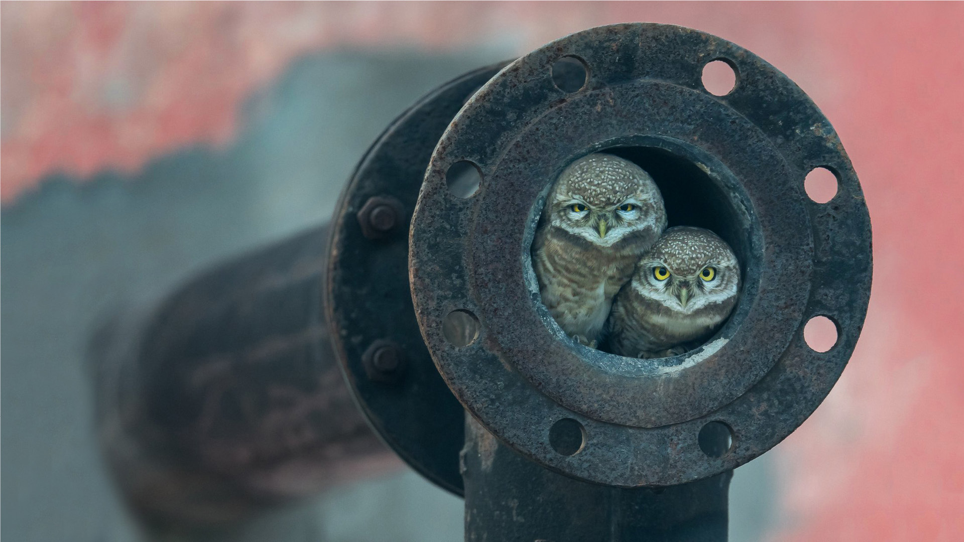General 1920x1080 nature birds owl photography rust screws  circle pipe depth of field