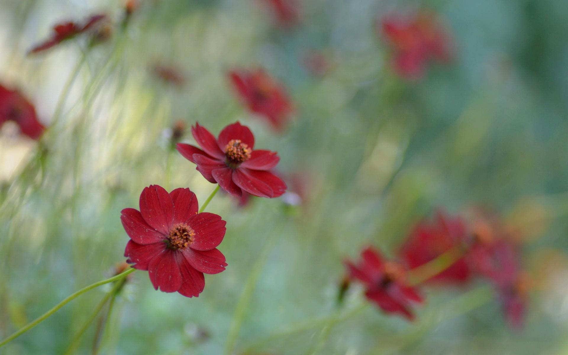 General 1920x1200 plants flowers red flowers