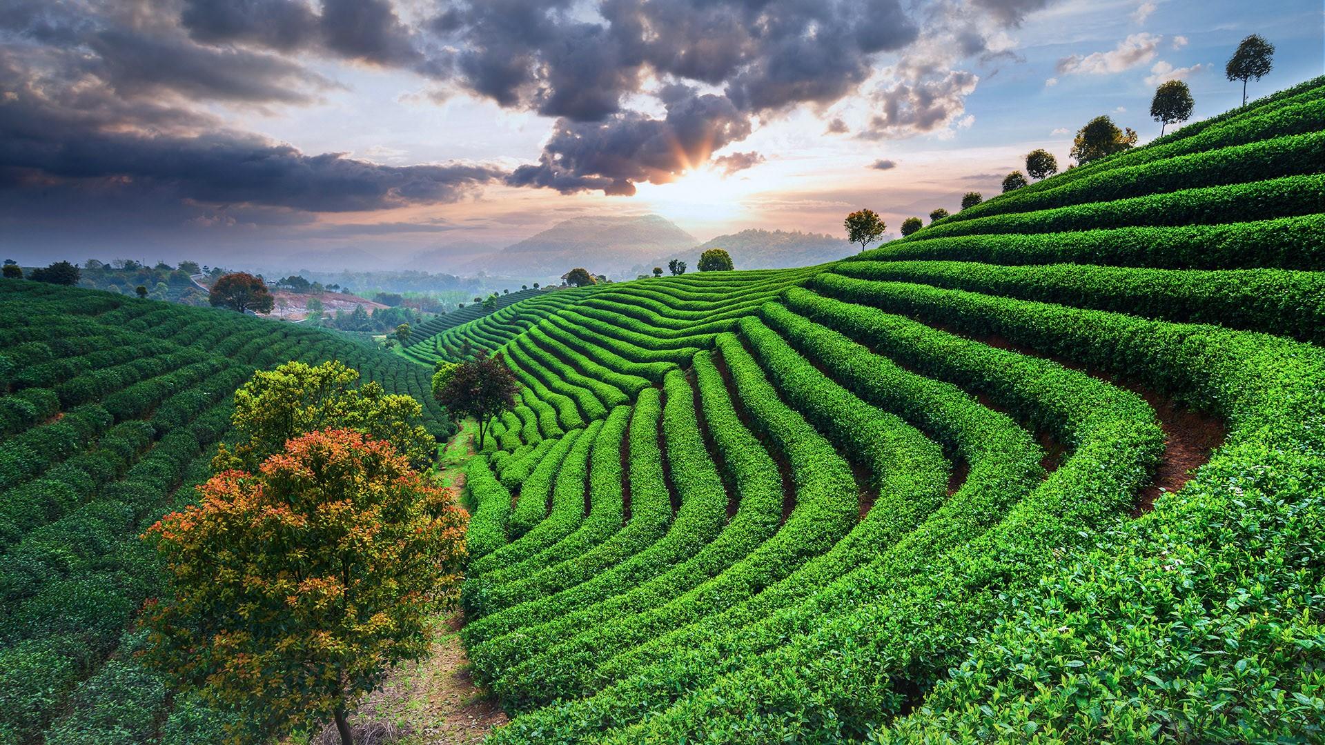 General 1920x1080 nature landscape trees field farm clouds sky mountains Sun sunset tea plant tea China