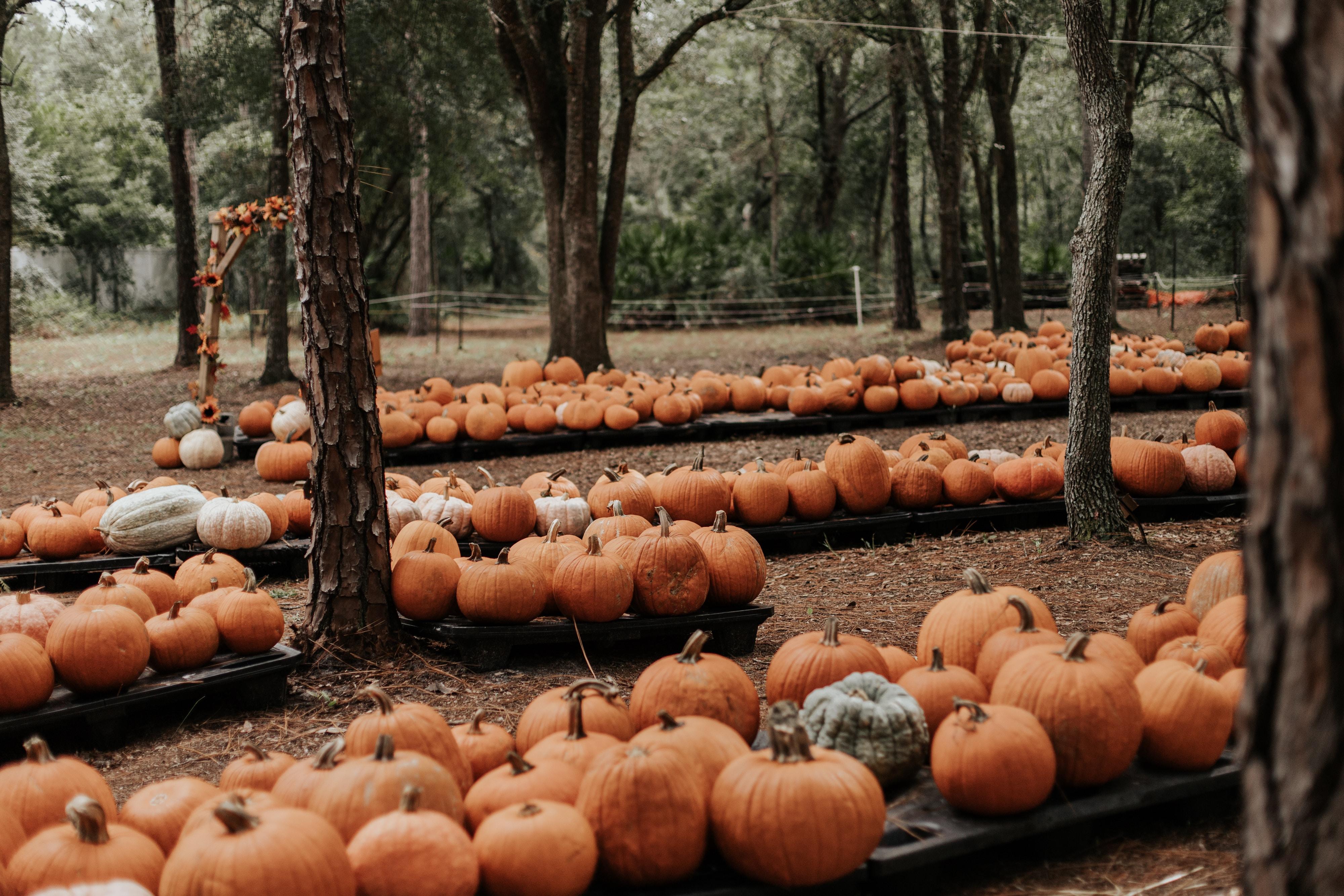 General 4000x2667 Halloween pumpkin Harvest fall