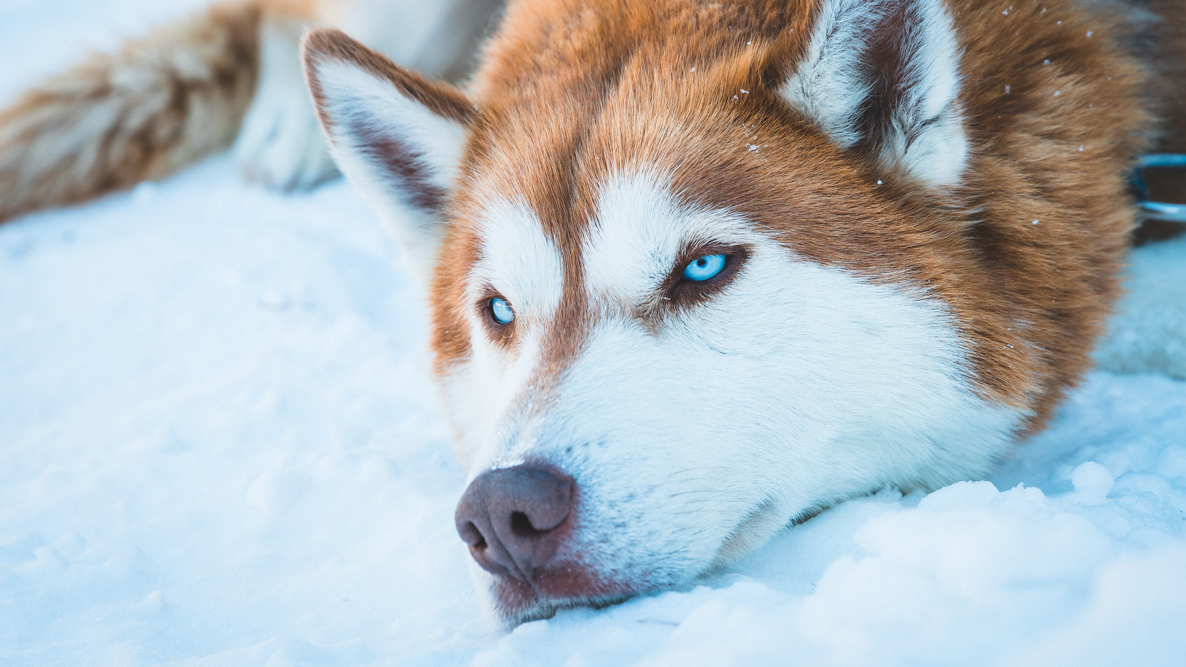 General 3840x2160 photography winter snow white animals dog wolf blue eyes Siberian Husky  nature outdoors pet orange blue fur face eyes ears wolf ears can