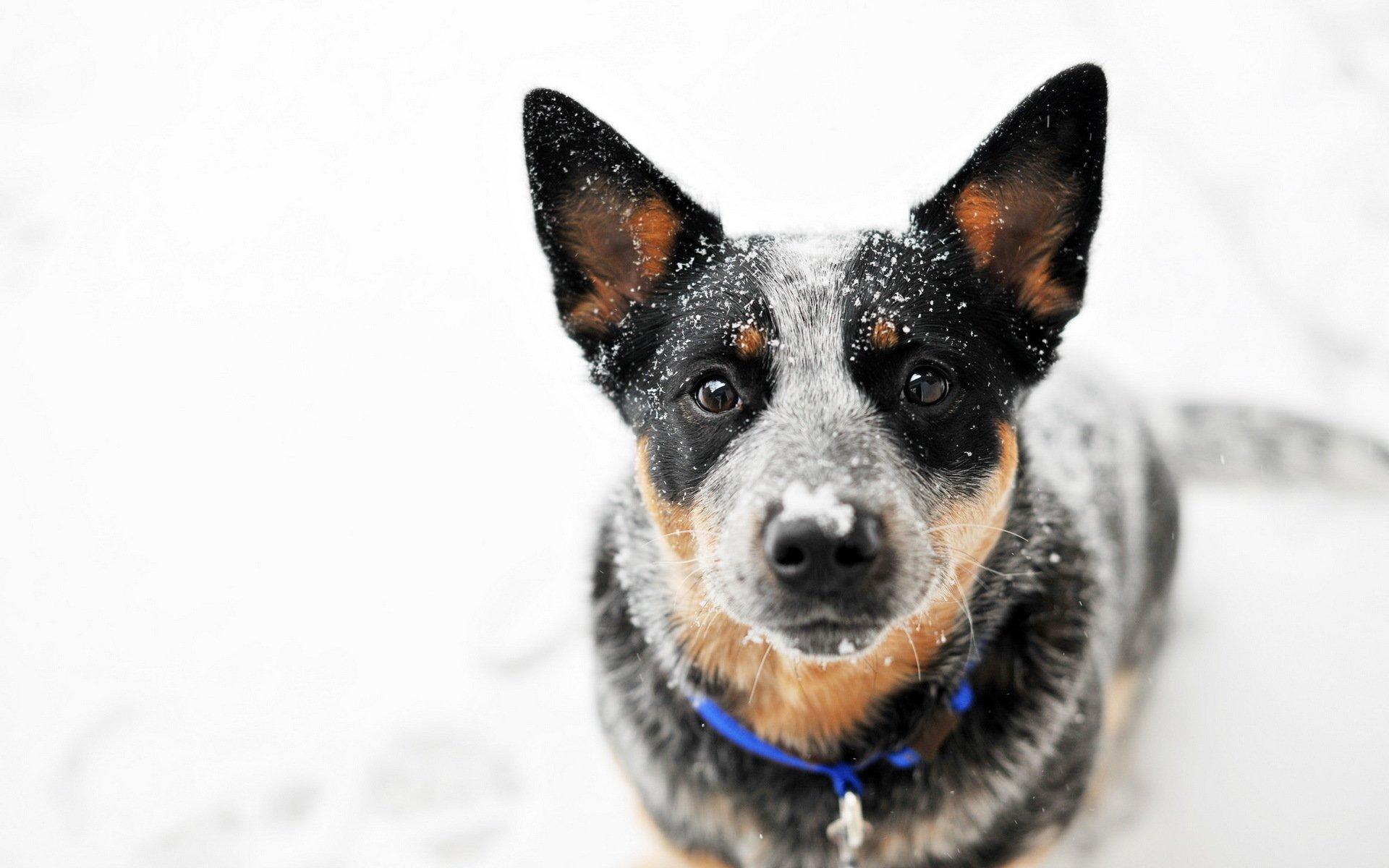 General 1920x1200 dog australian cattle dog snow looking at viewer good boy
