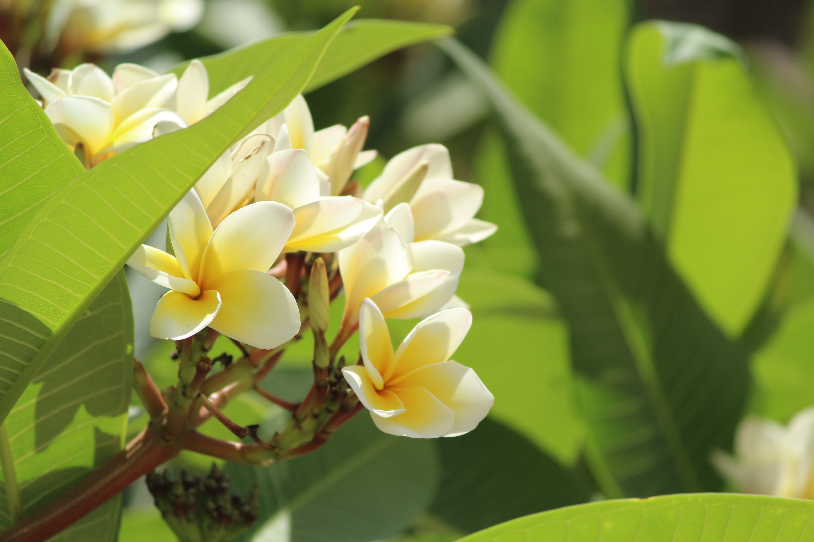 General 3456x2304 macro Plumeria flowers plants white flowers