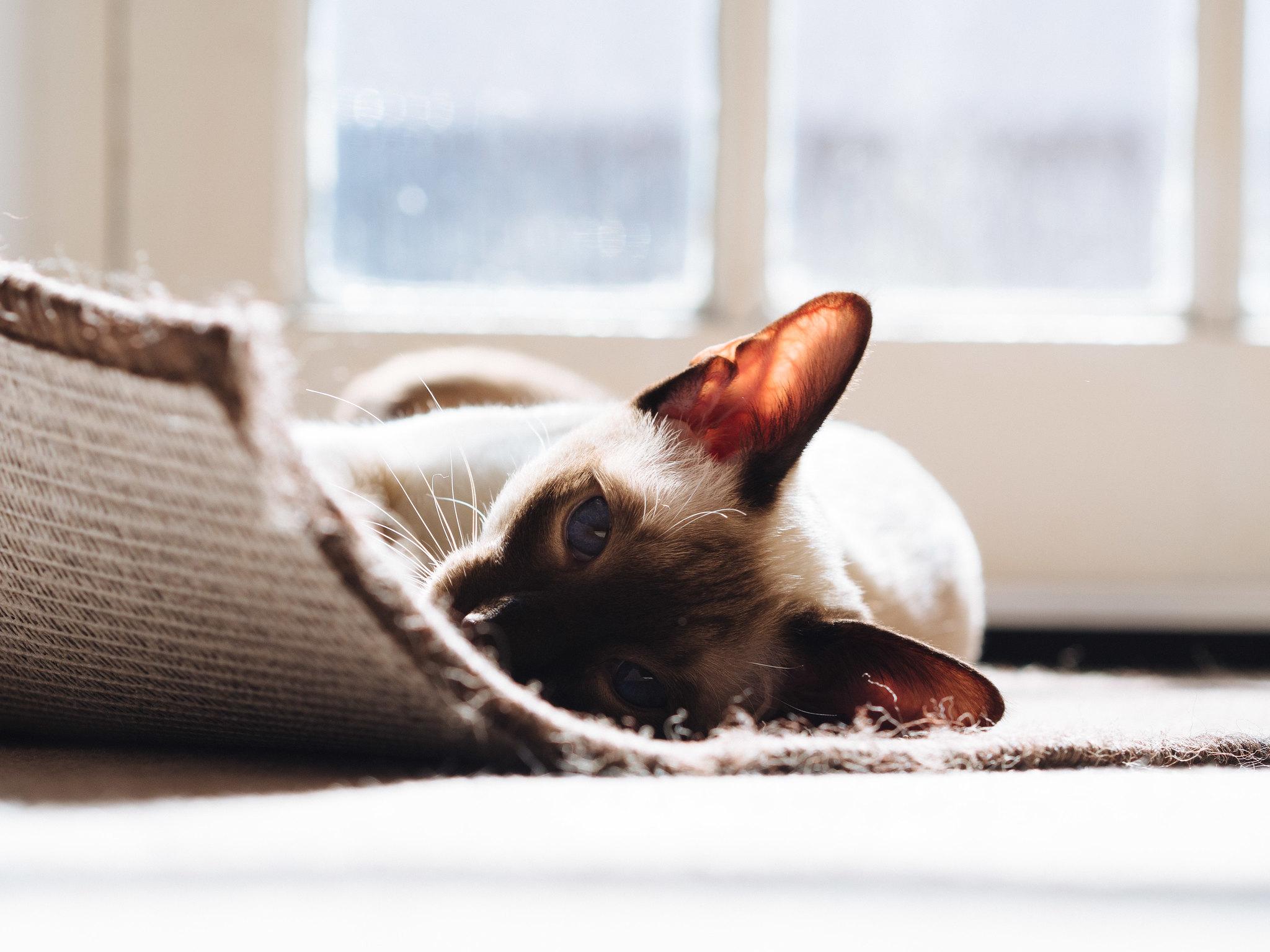 General 2048x1536 feline carpet Siamese cats warming in sunlight sunlight cats animals