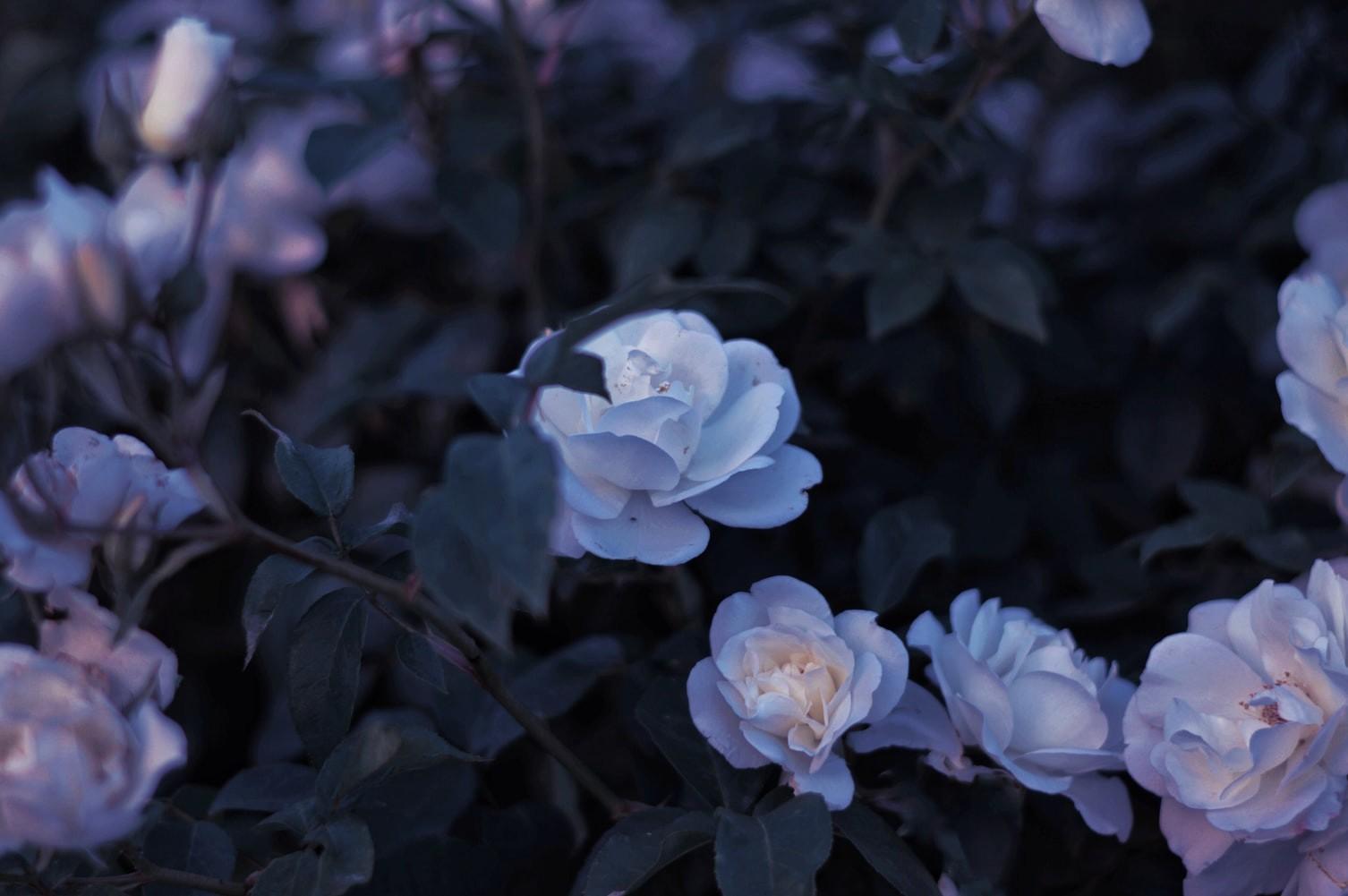 General 1506x1001 flowers roses floral plants garden
