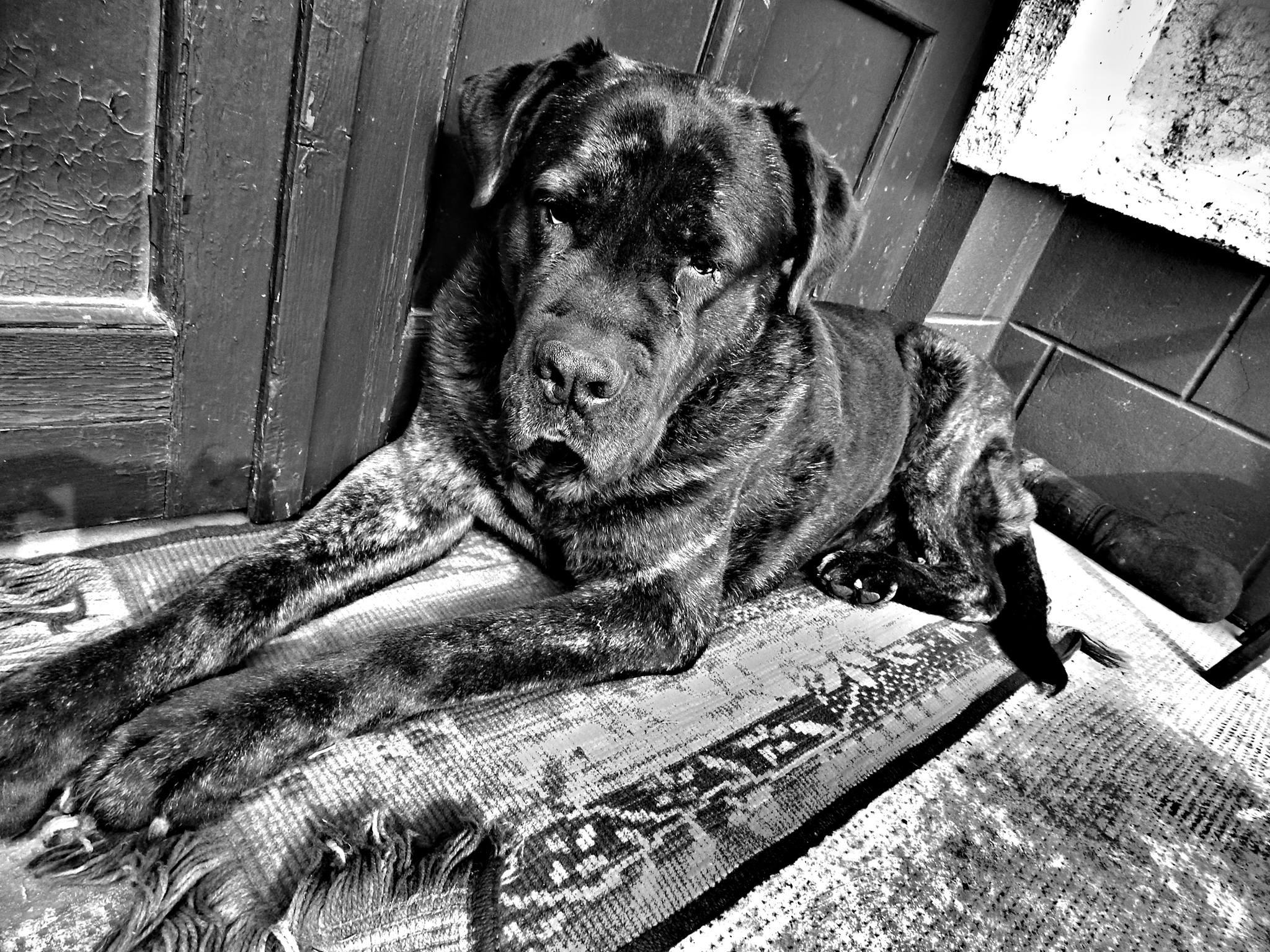 General 2048x1536 monochrome animals dog cane corso