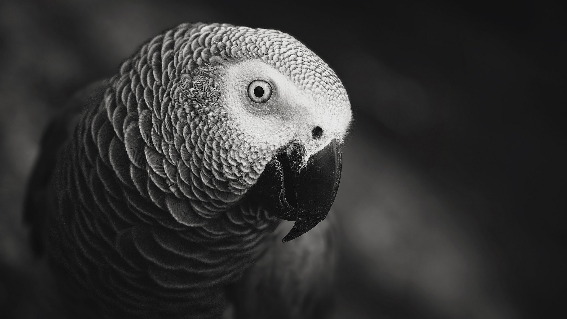 General 1920x1080 nature animals gray macro monochrome birds