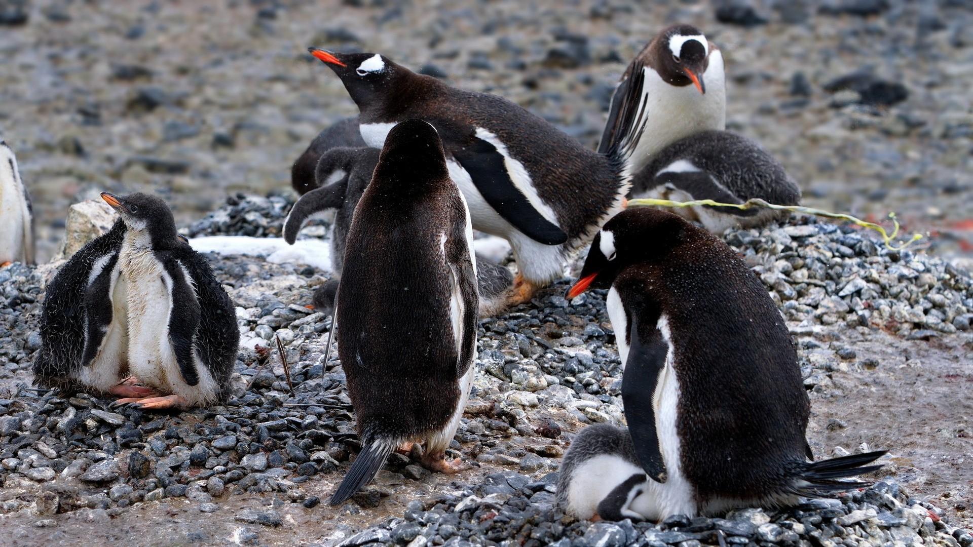 General 1920x1080 animals penguins birds baby animals