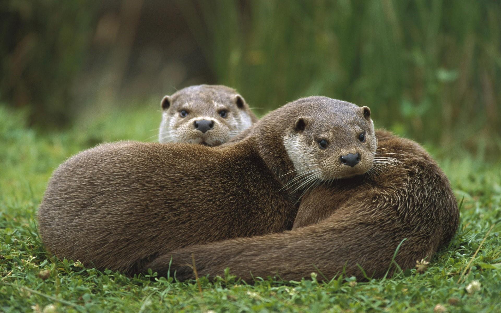 General 1920x1200 otters animals mammals wildlife