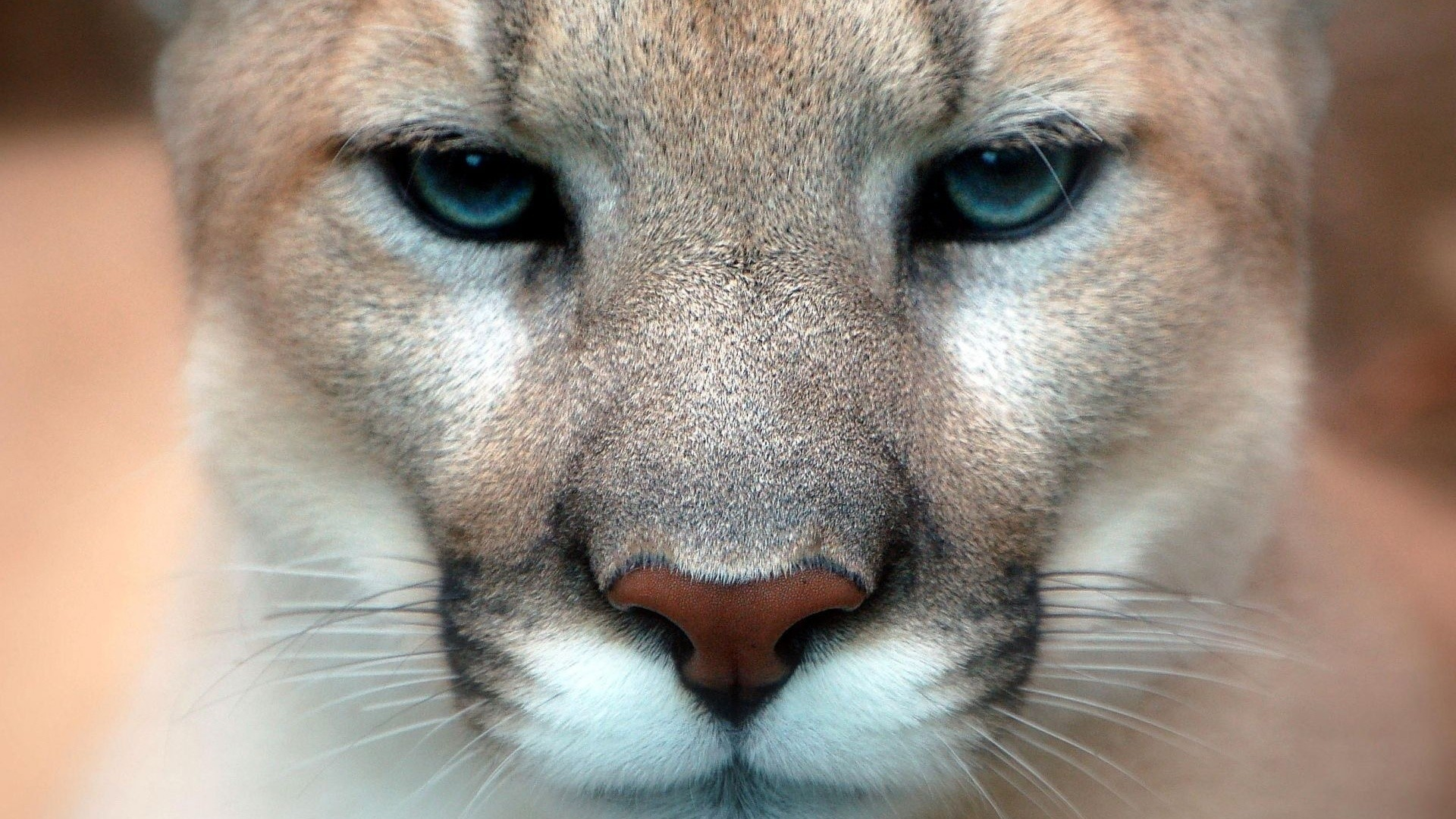 General 1920x1080 animals feline nature pumas cougars