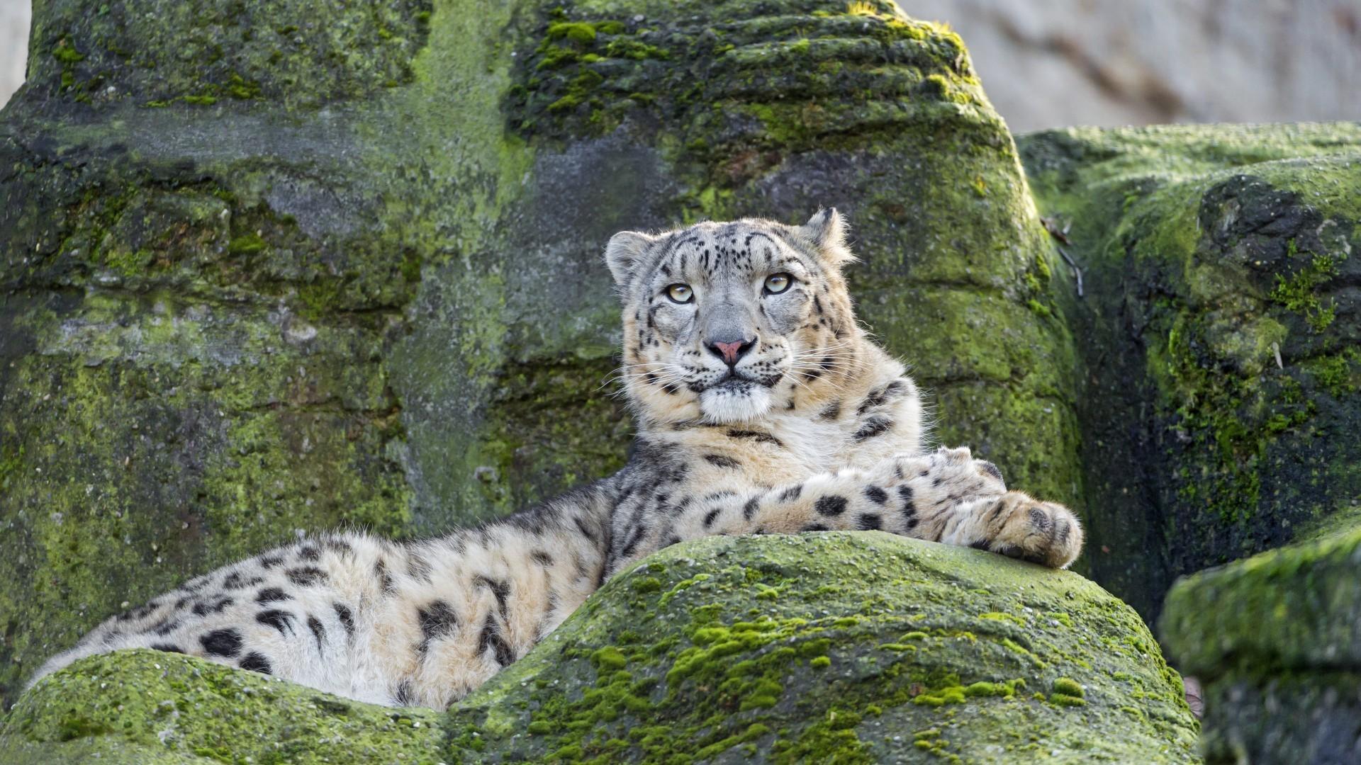 General 1920x1080 animals wildlife wild cat nature snow leopard