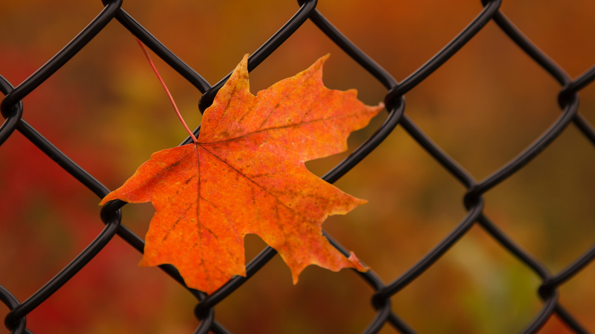 General 1920x1080 nature leaves maple leaves closeup fence fall metal depth of field
