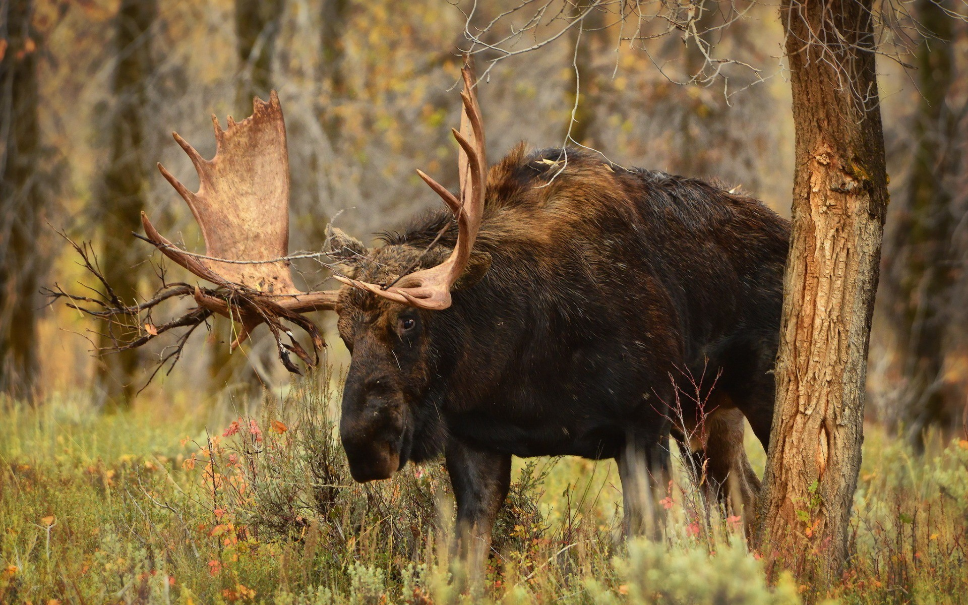 General 1920x1200 moose animals mammals wildlife nature