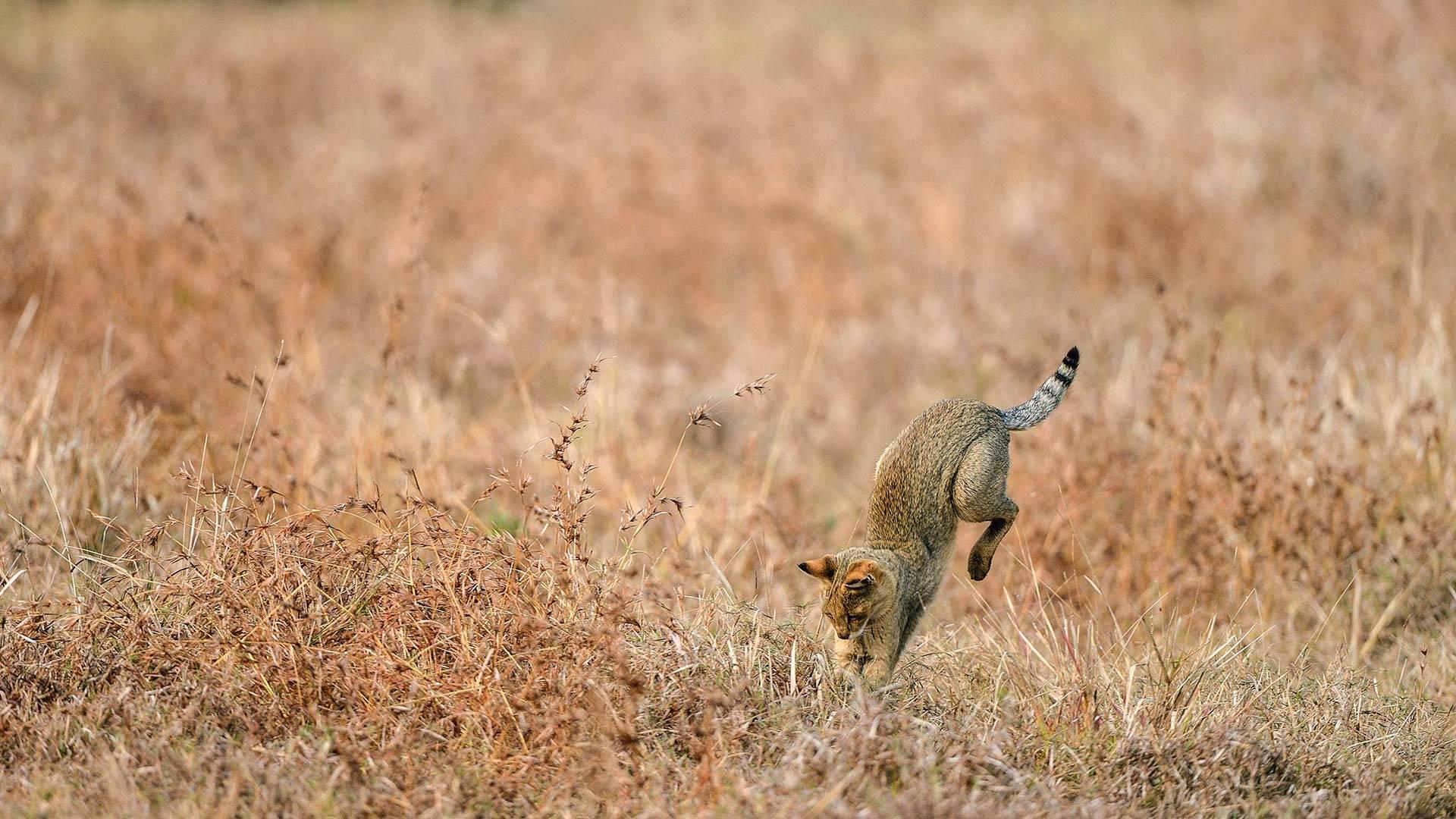 General 1920x1080 Bing photography nature cats hunt mammals animals hunting