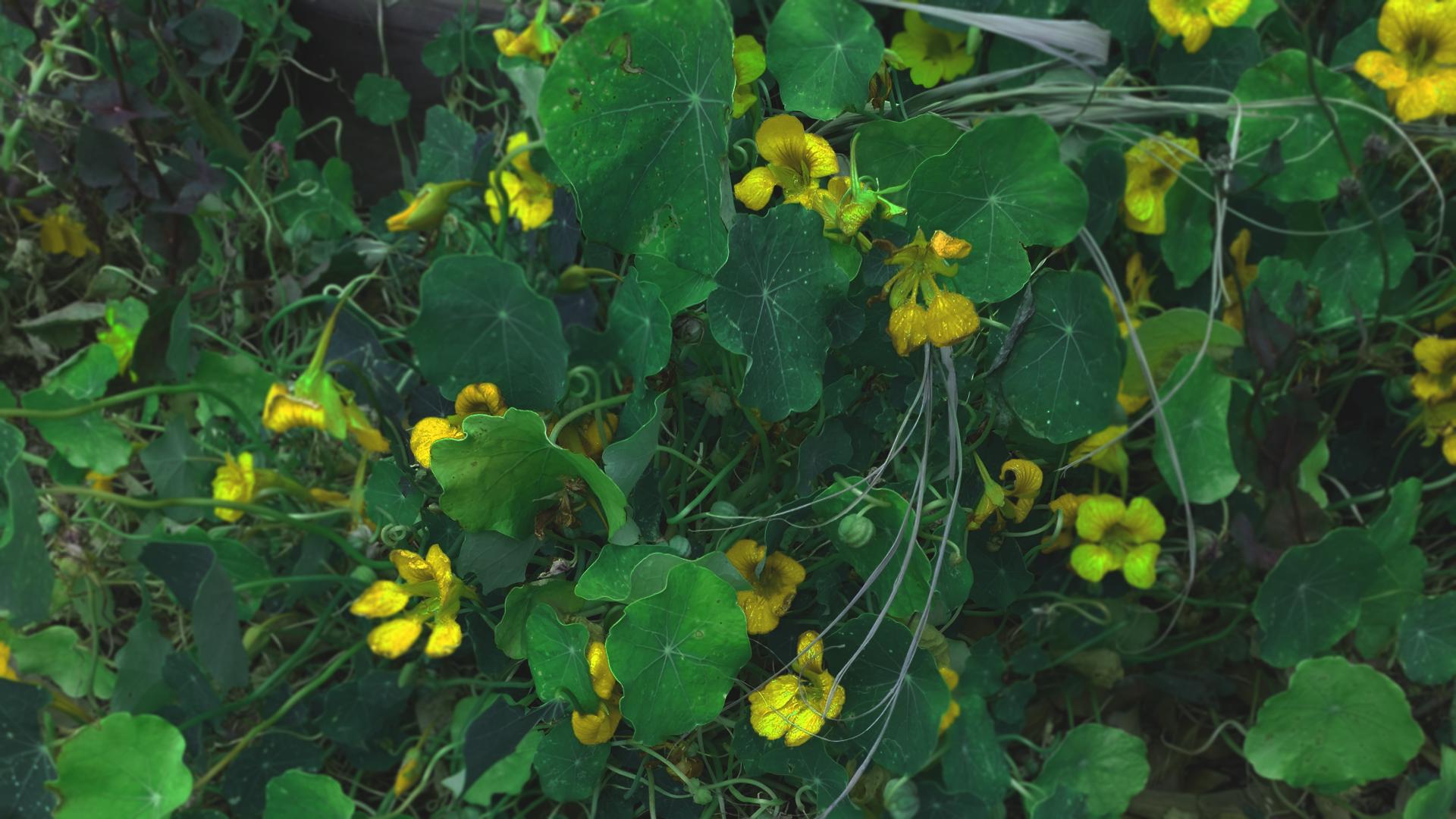 General 1920x1080 herbarium yellow roses overgrown