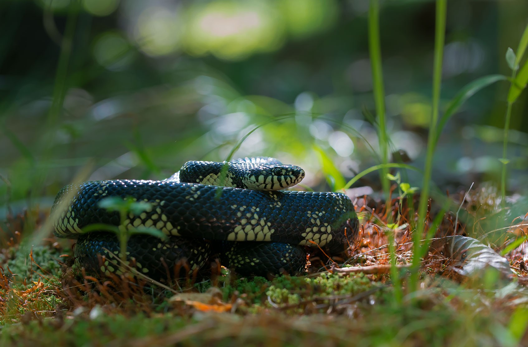 General 1695x1113 photography snake cobra  king plants wildlife reptiles bokeh grass